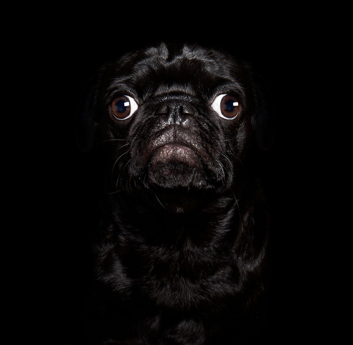 Black pug portrait