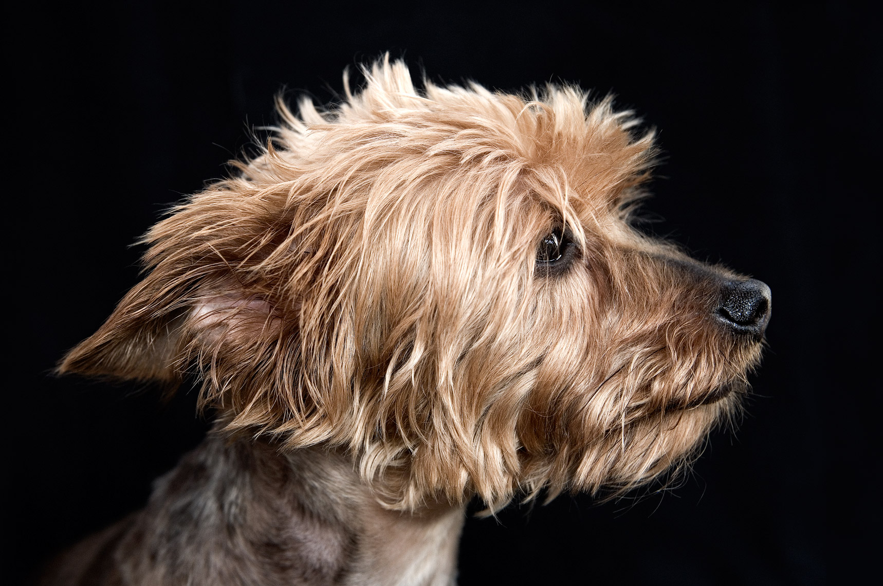 Yorkshire terrier profile