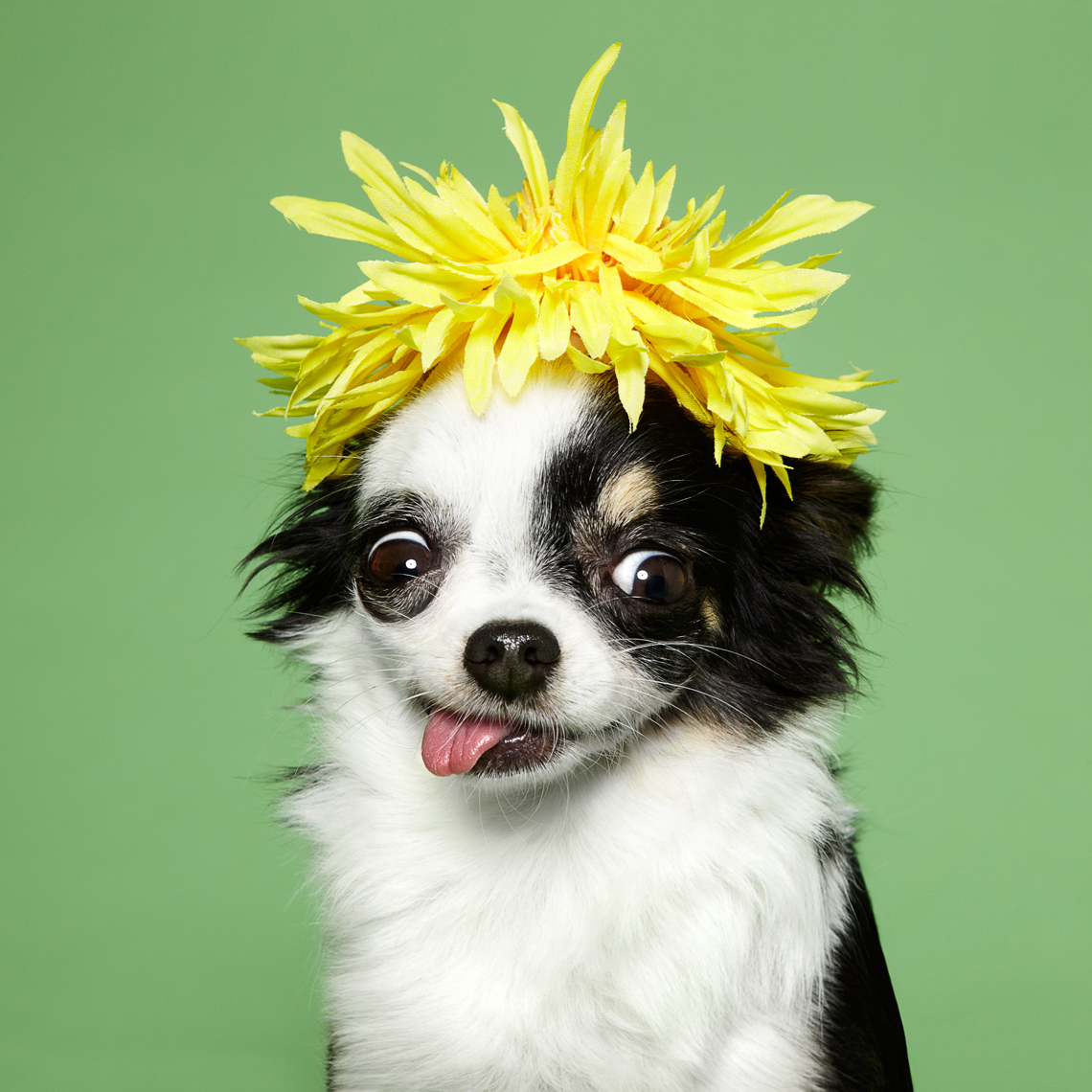 Chihuahua with a flower hat