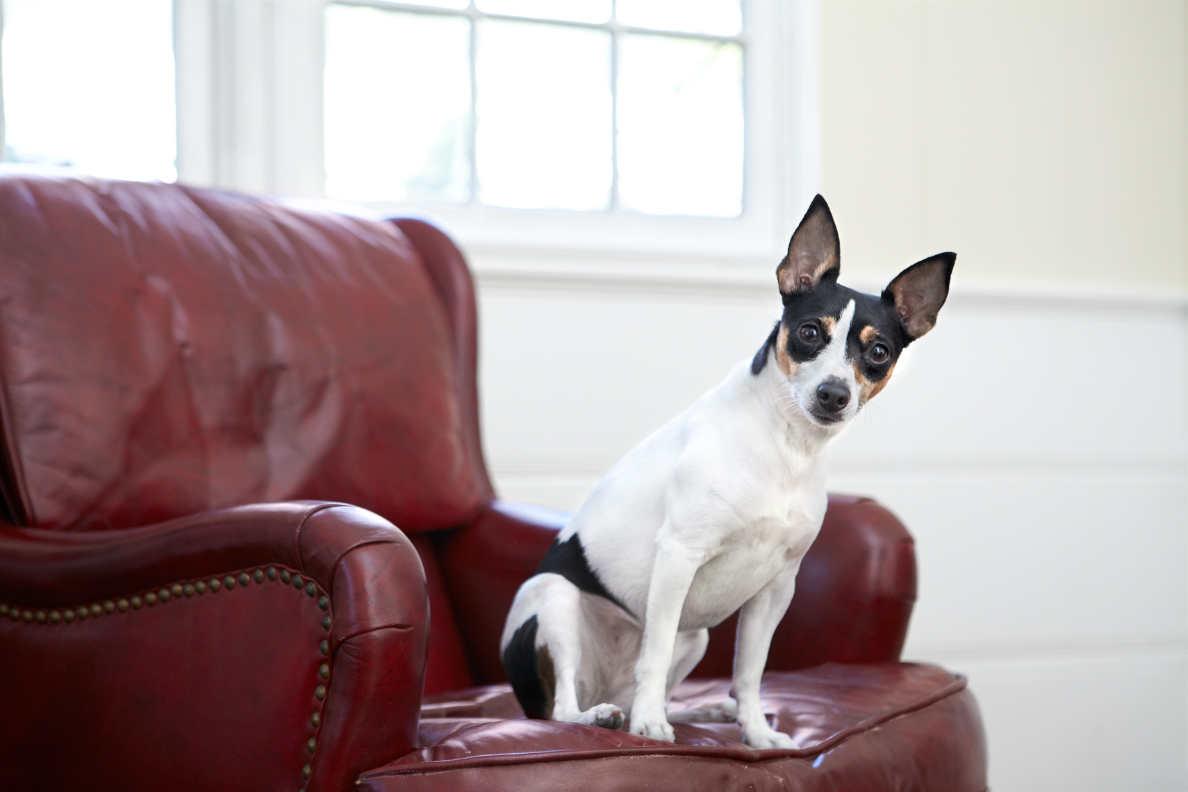 Rat terrier on chair