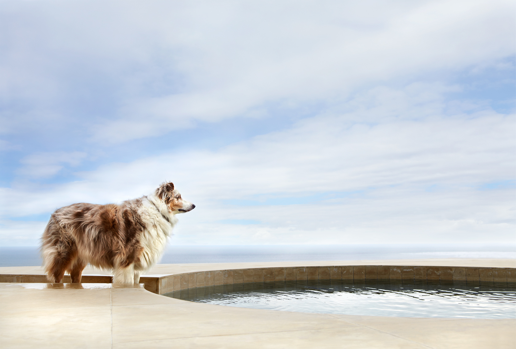 Australian Shepherd at pool