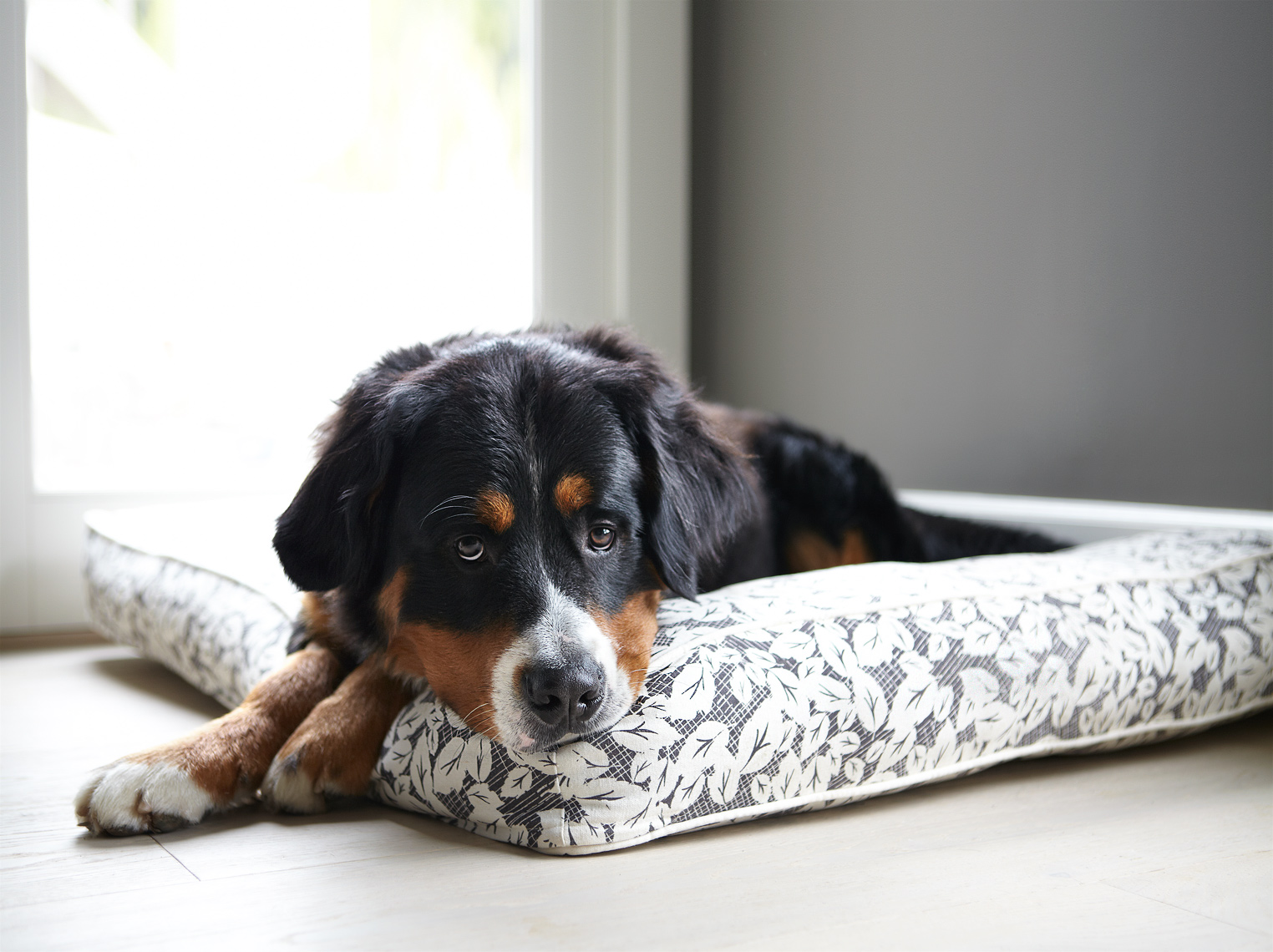 Bernese Mountain Dog on bed