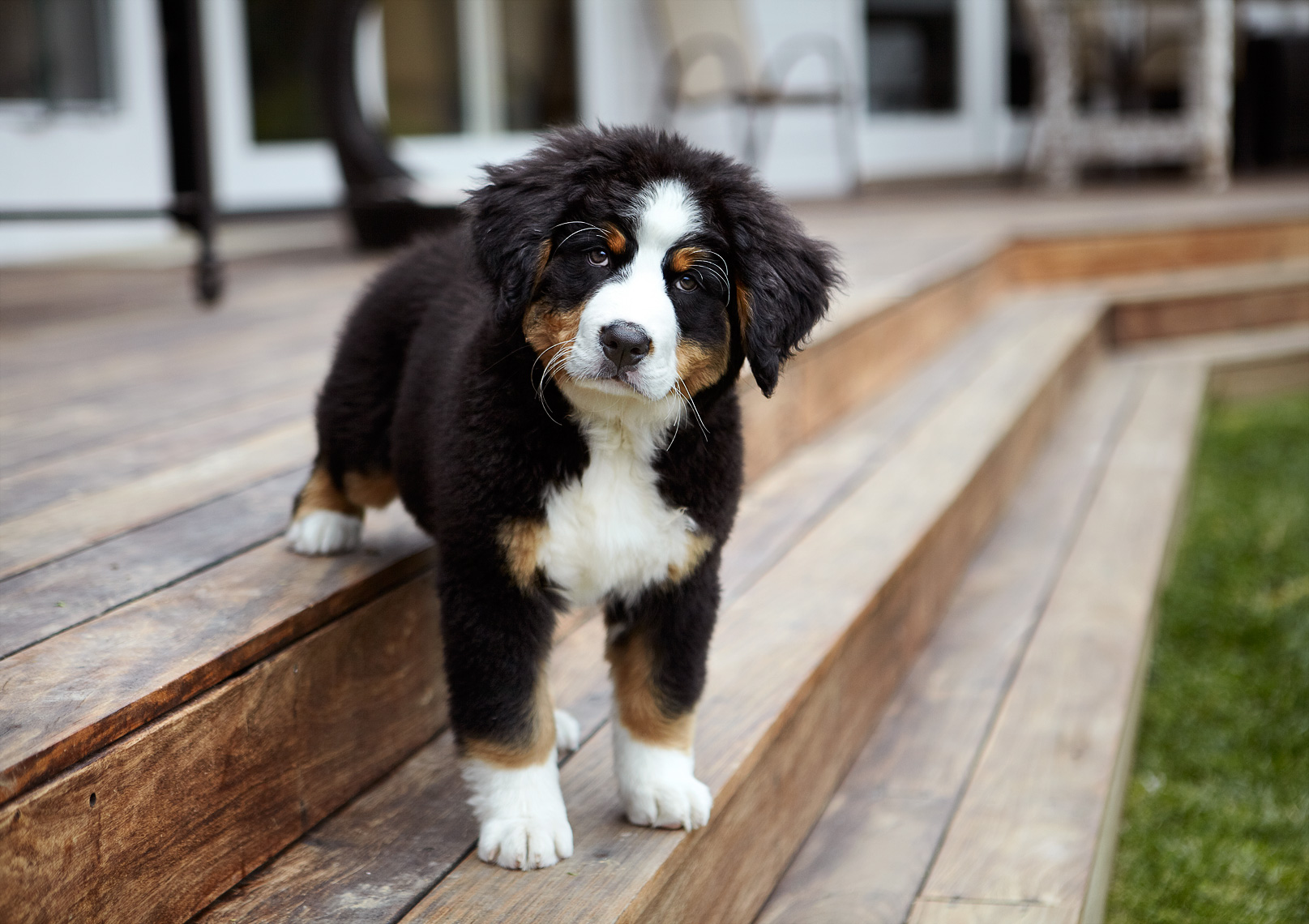 Bernese puppy in backyard