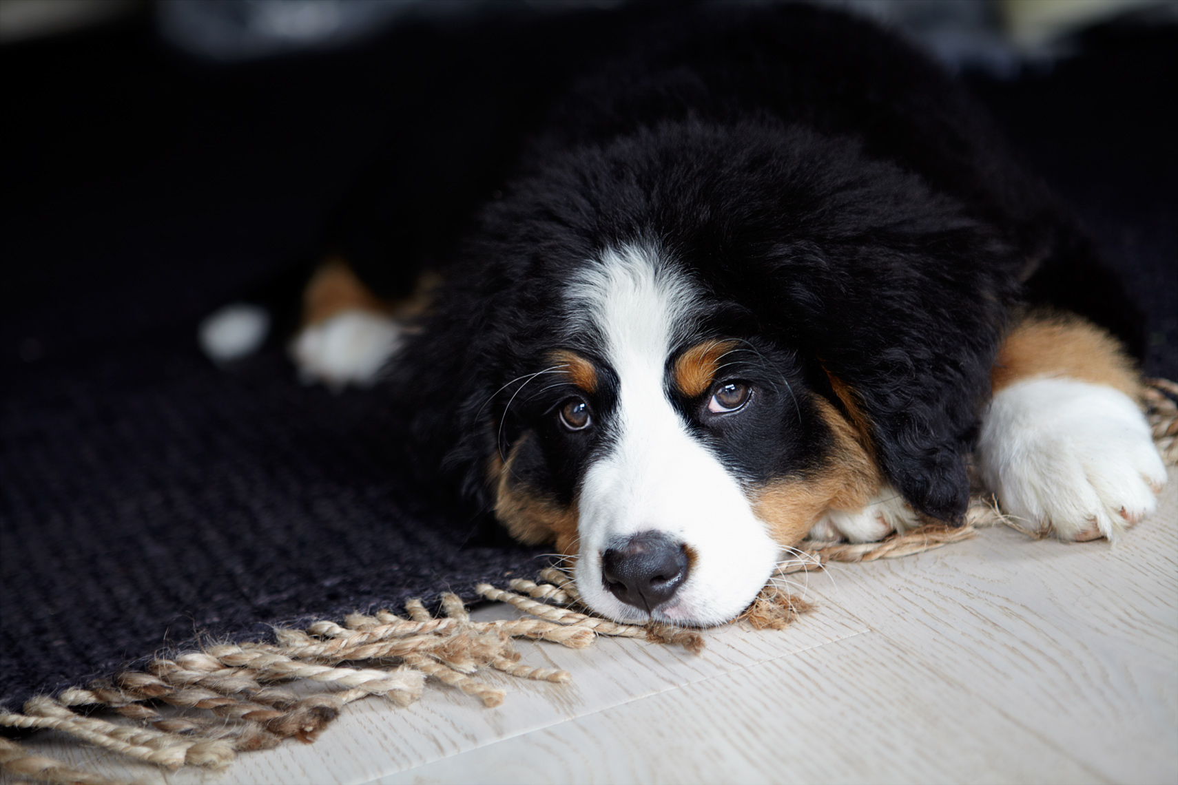 Bernese Puppy on floor