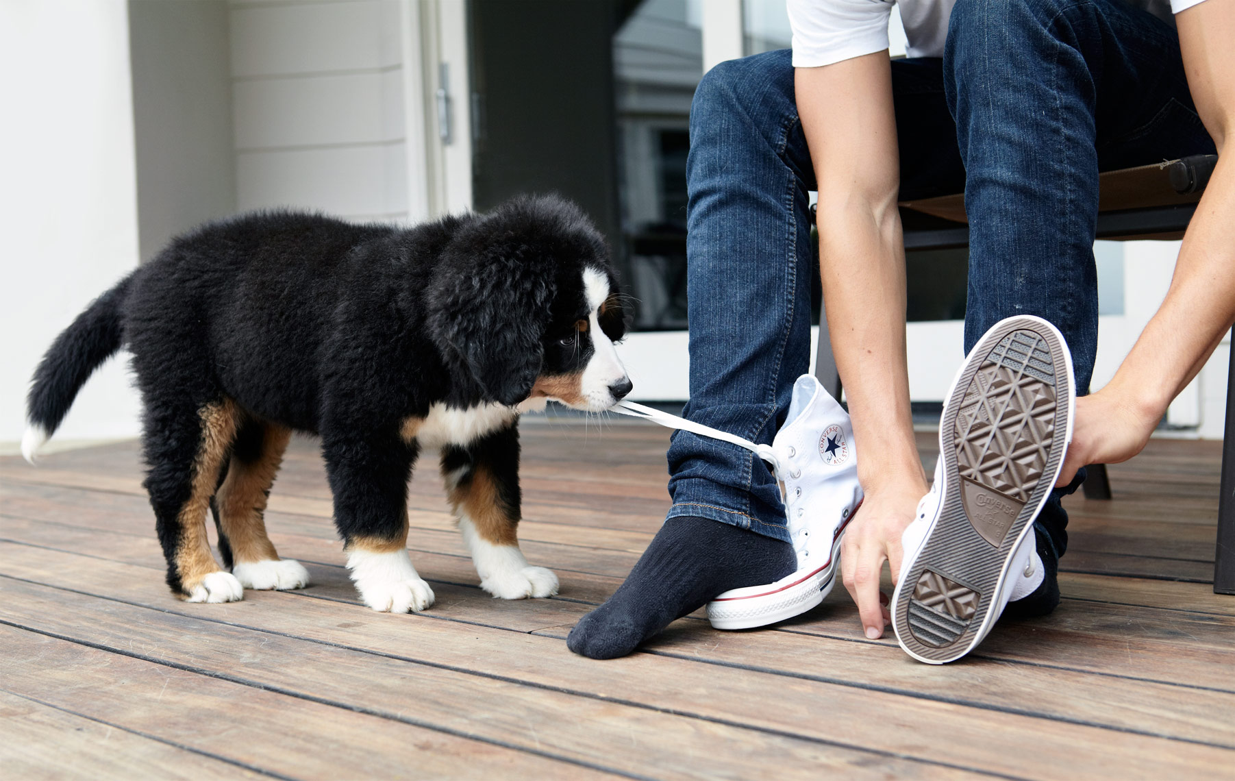 Bernese Mountain dog pulling shoe