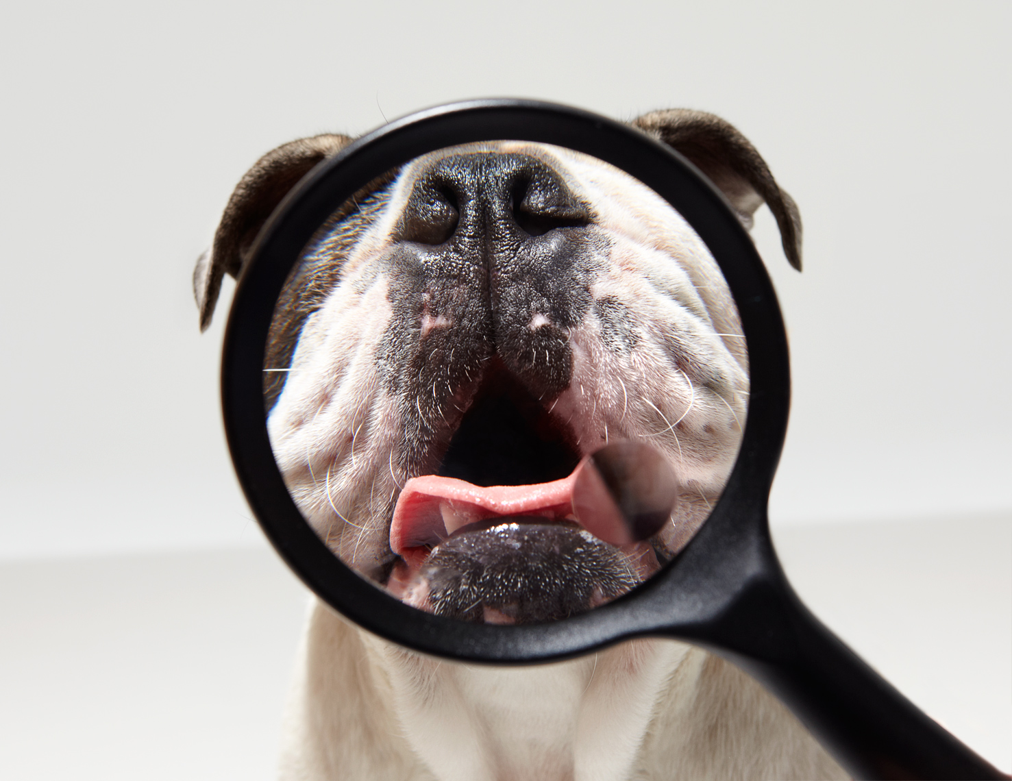 Bulldog with Magnifying Glass