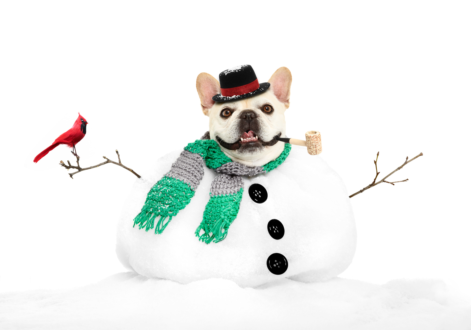 French Bulldog as Snowman