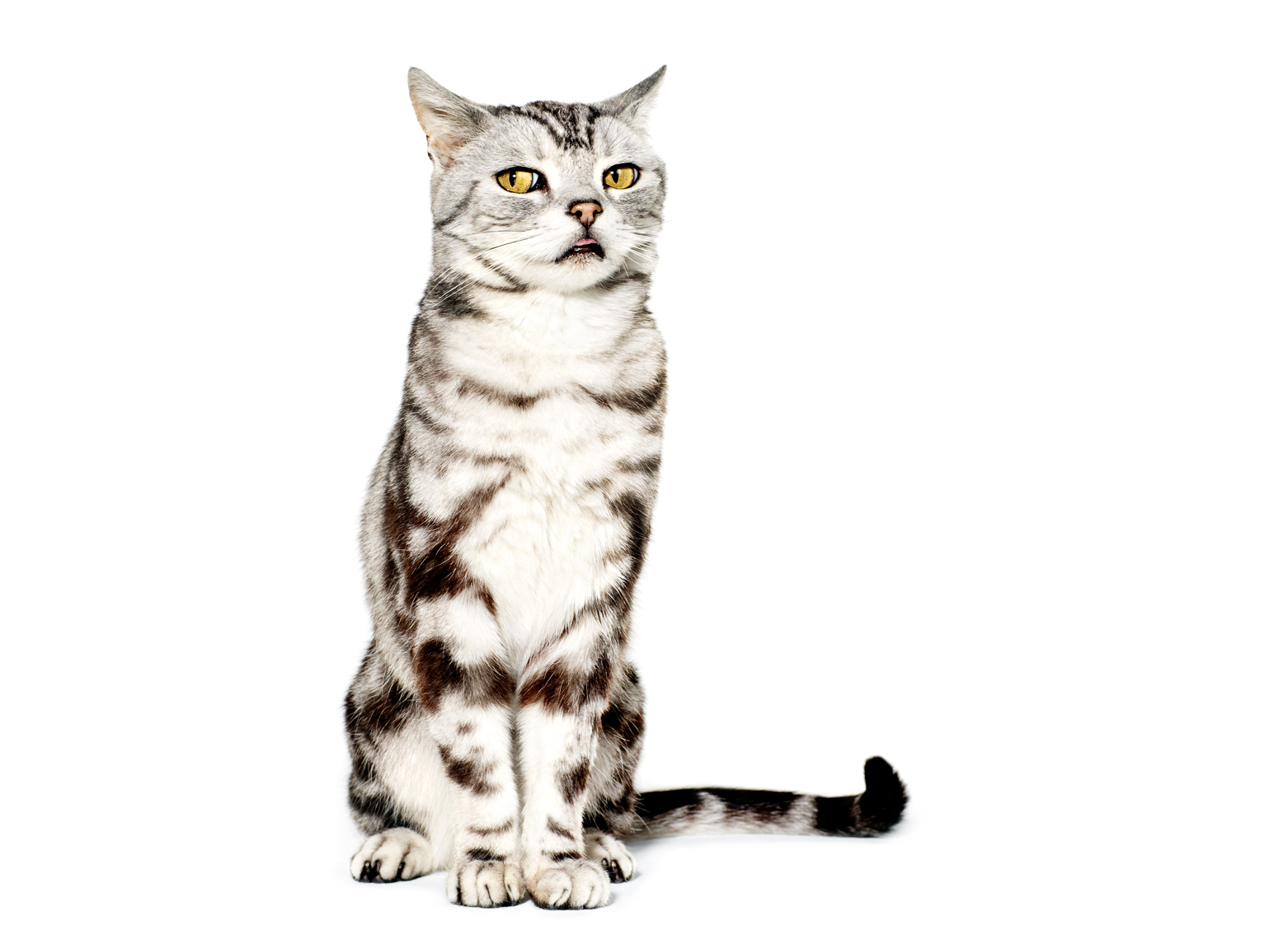 American shorthair skeptical cat