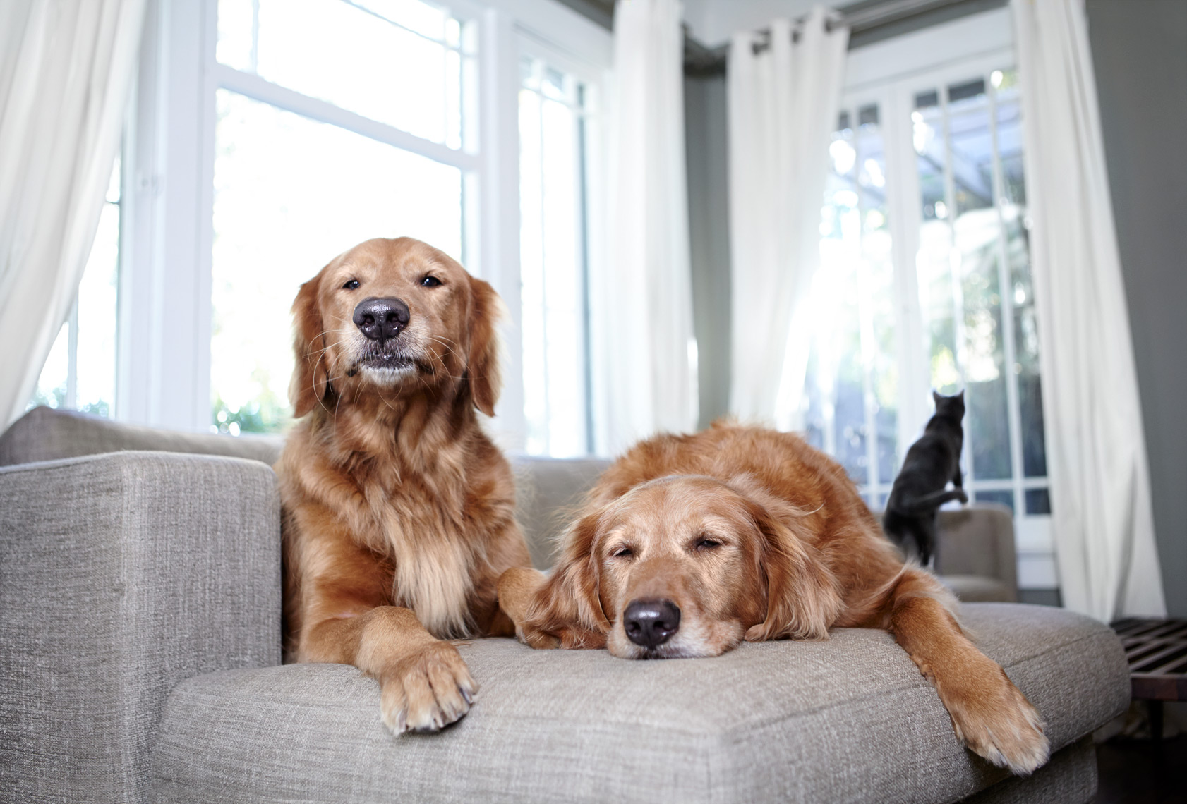Golden Retrievers on couch