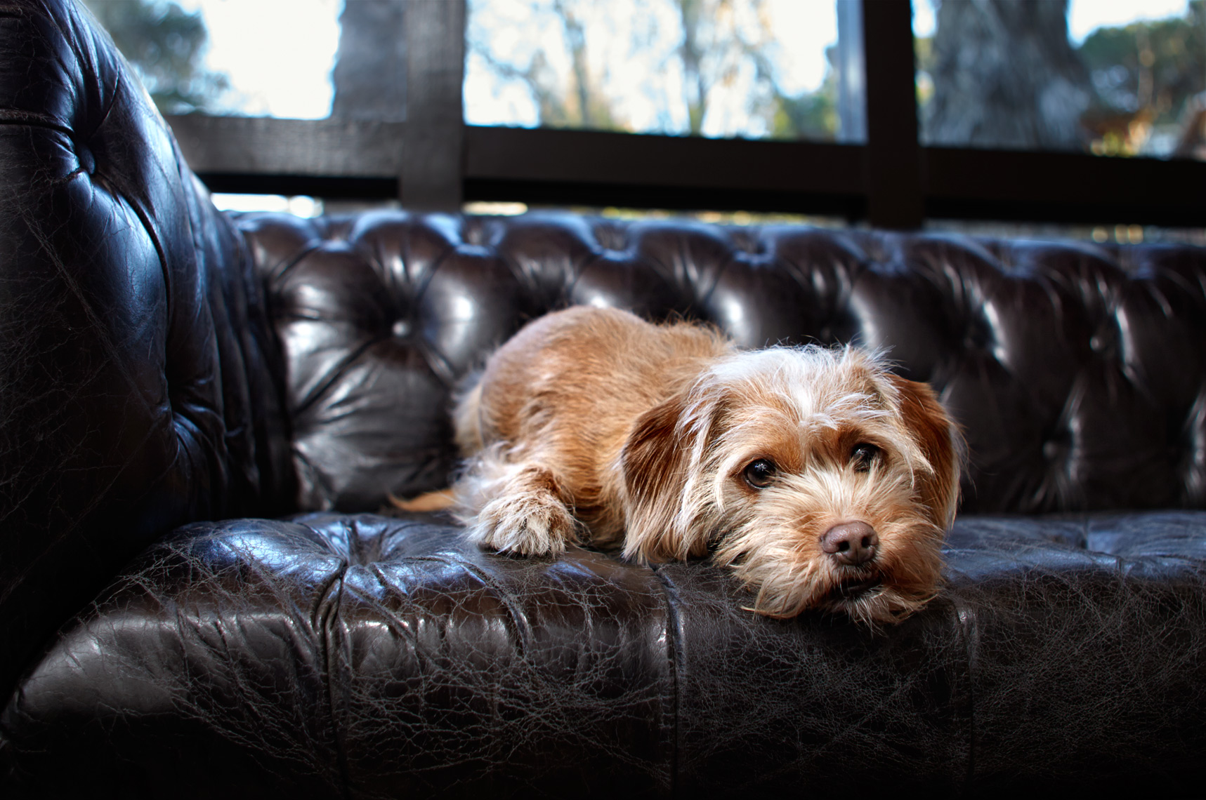 Dog on leather couch