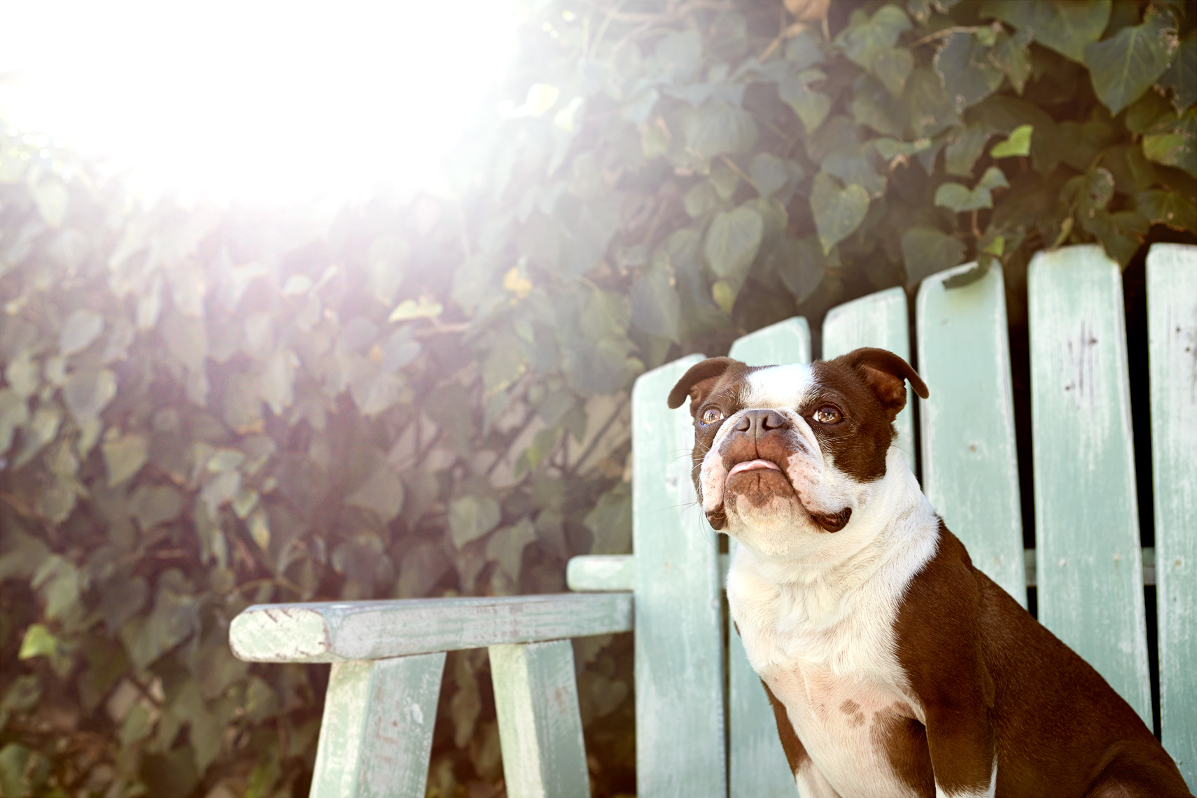 Boston Terrier in the sun