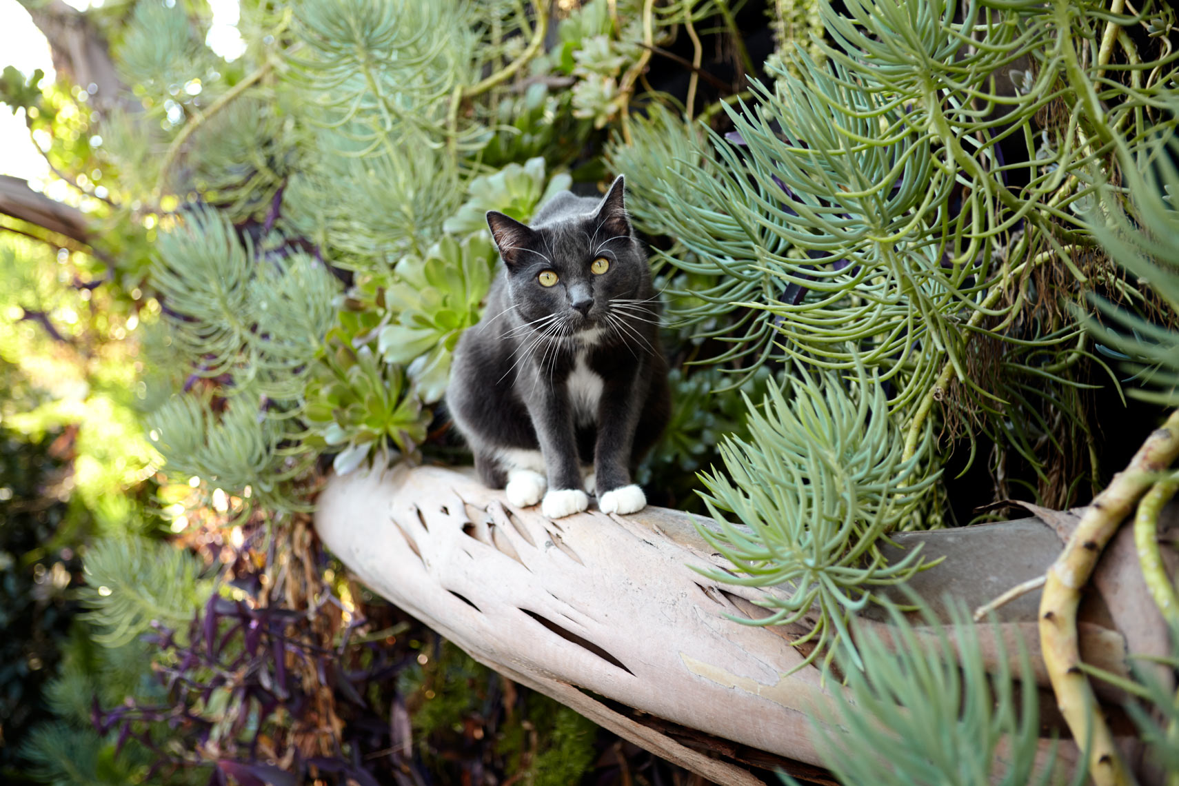 Gray cat with succulents