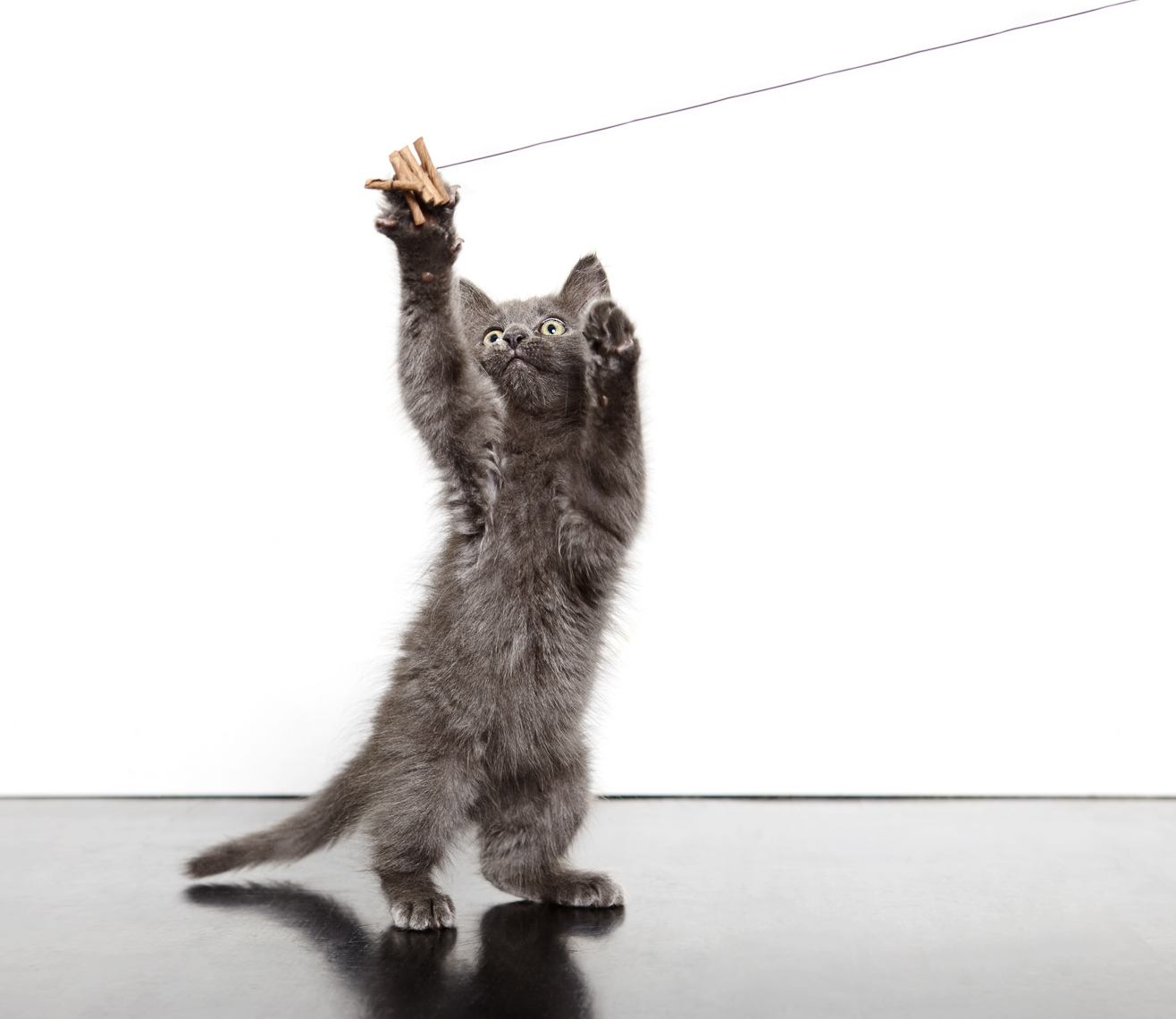 Playful Gray kitten