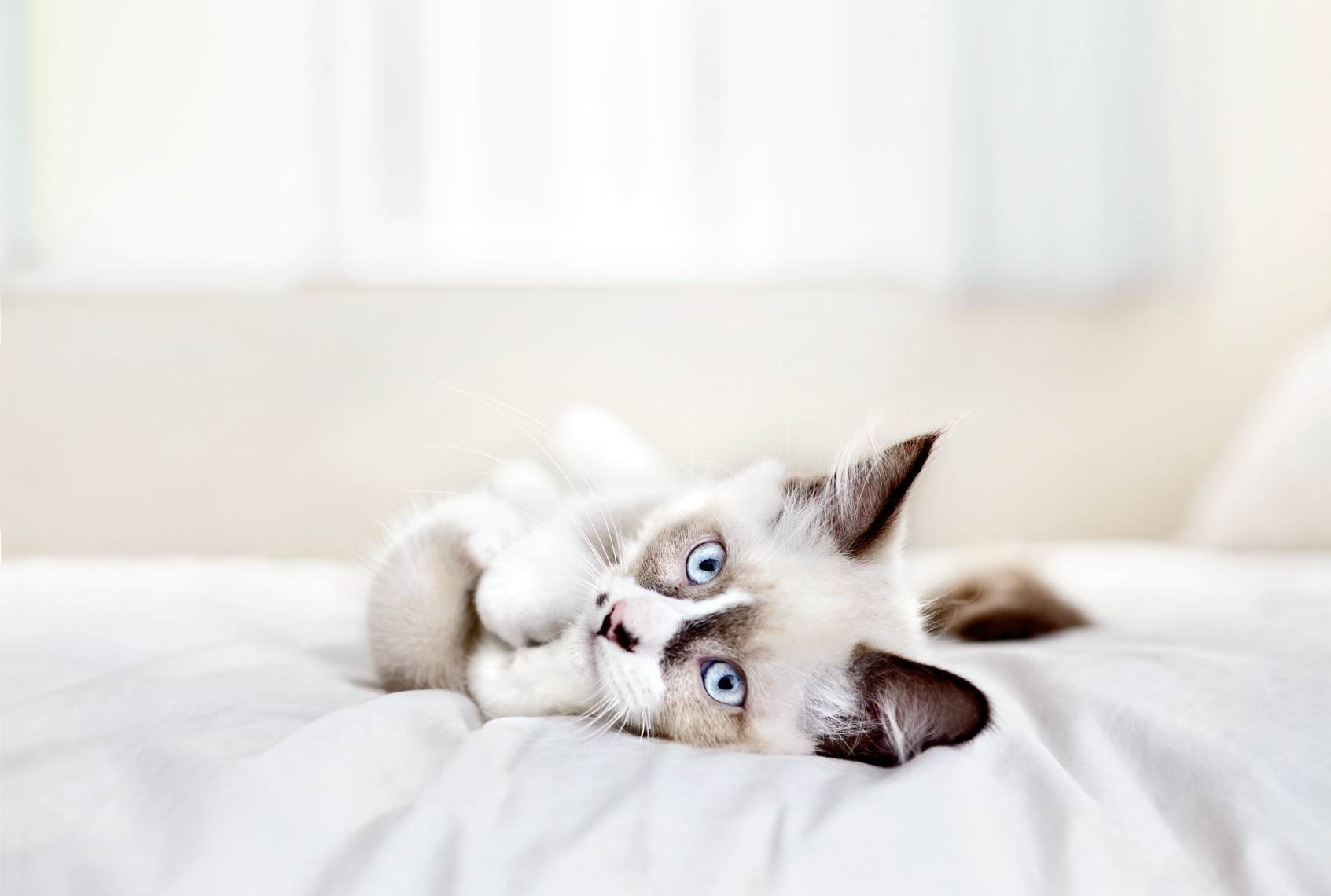 Siamese kitten on bed