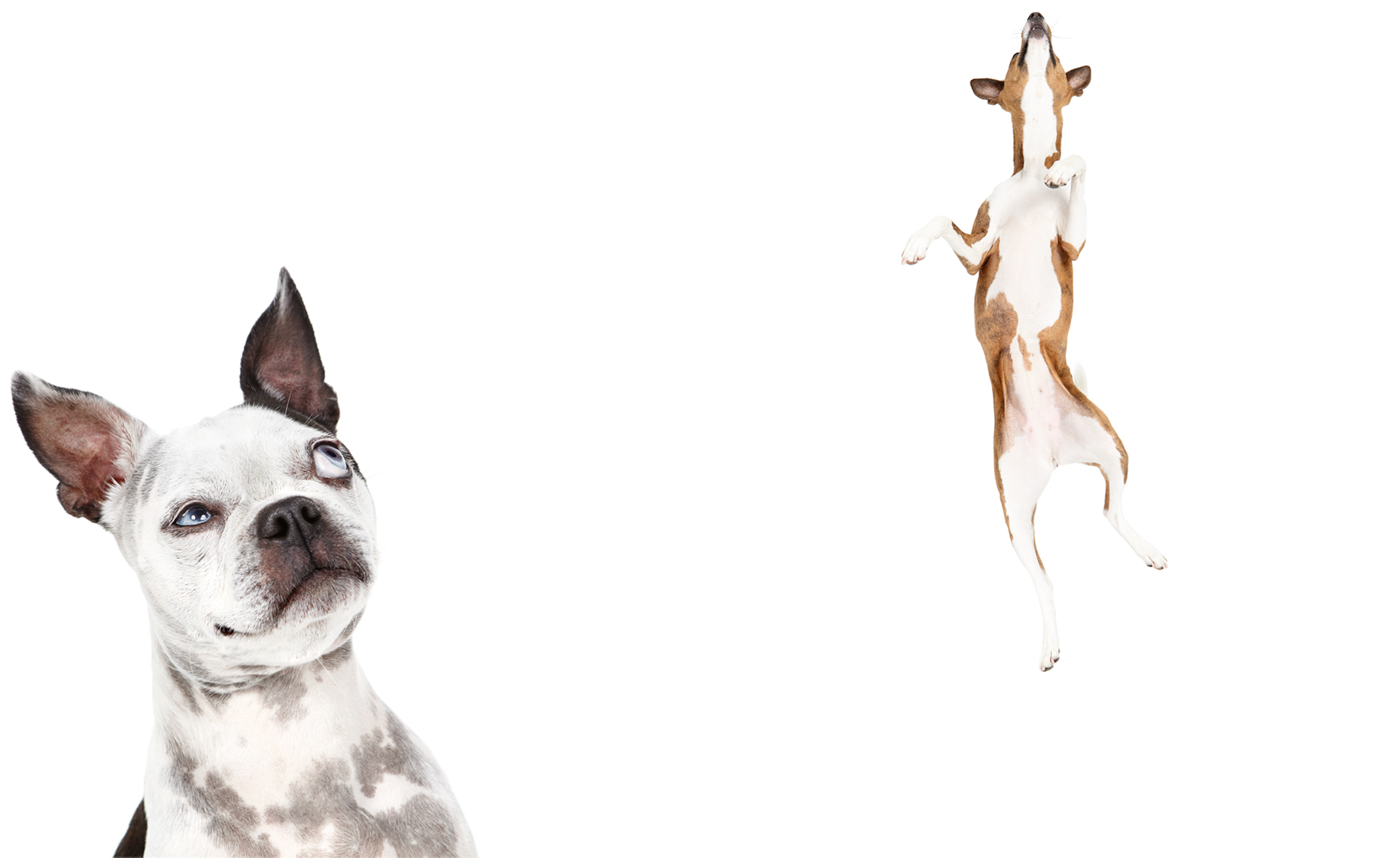 curious boston terrier and jumping basenji