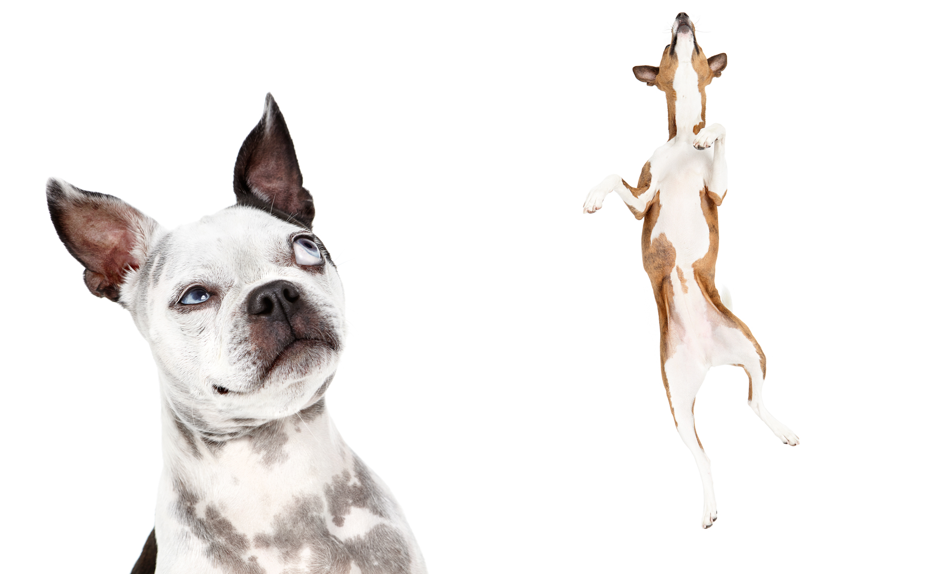 Boston Terrier and Basenji