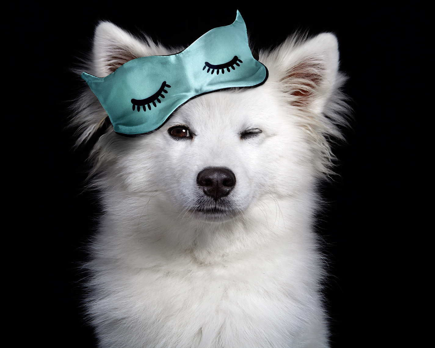 American Eskimo wearing sleep mask