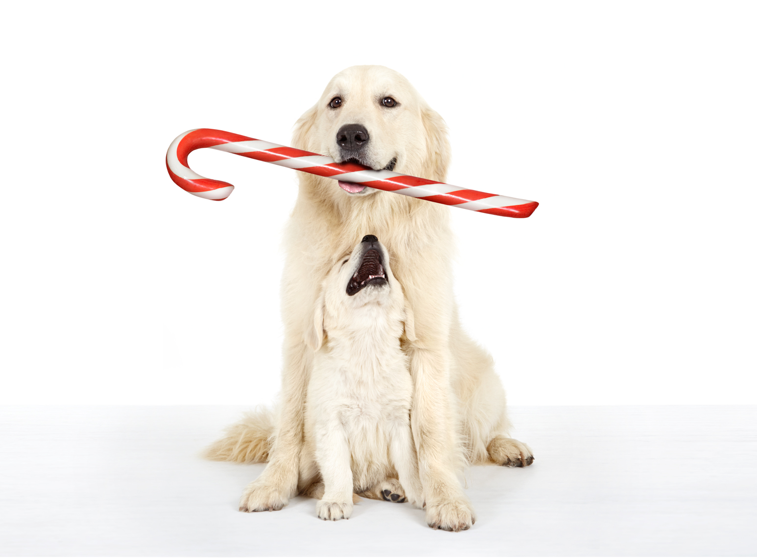 Golden Retriever with candy cane