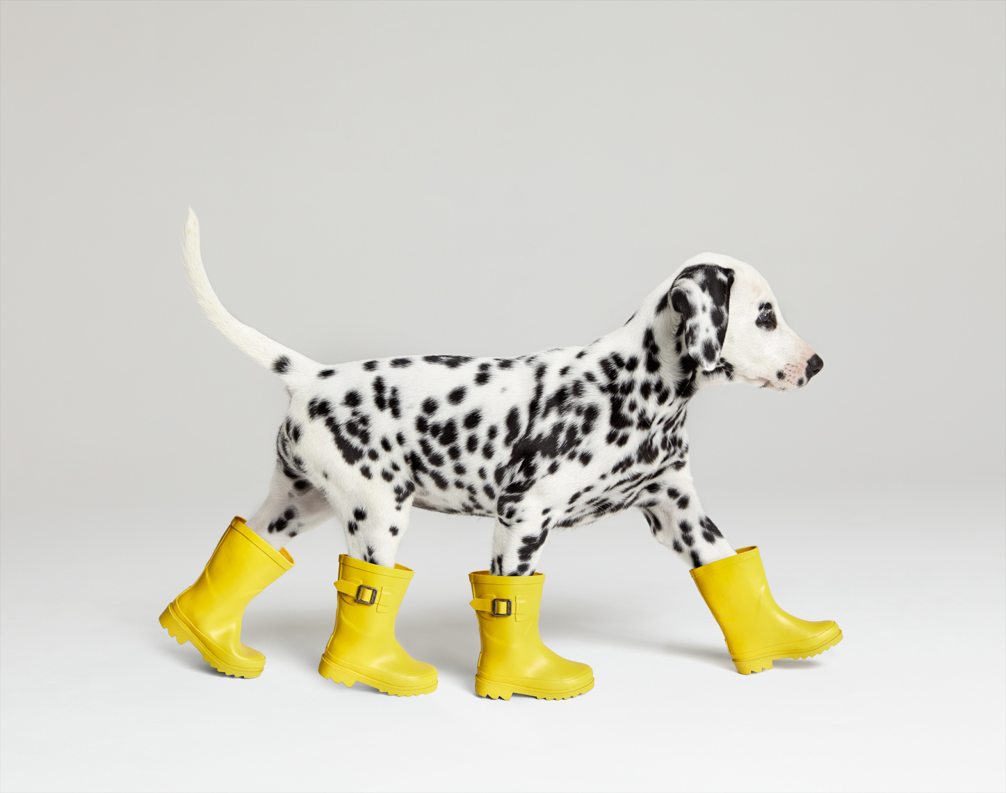 Dalamtian with yellow rain boots