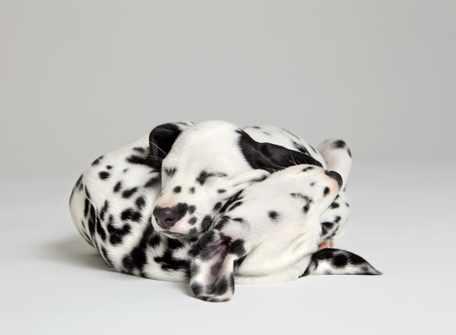 Dalmatian puppies cuddling