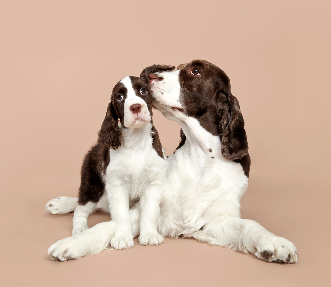 Springer Spaniel dog and puppy