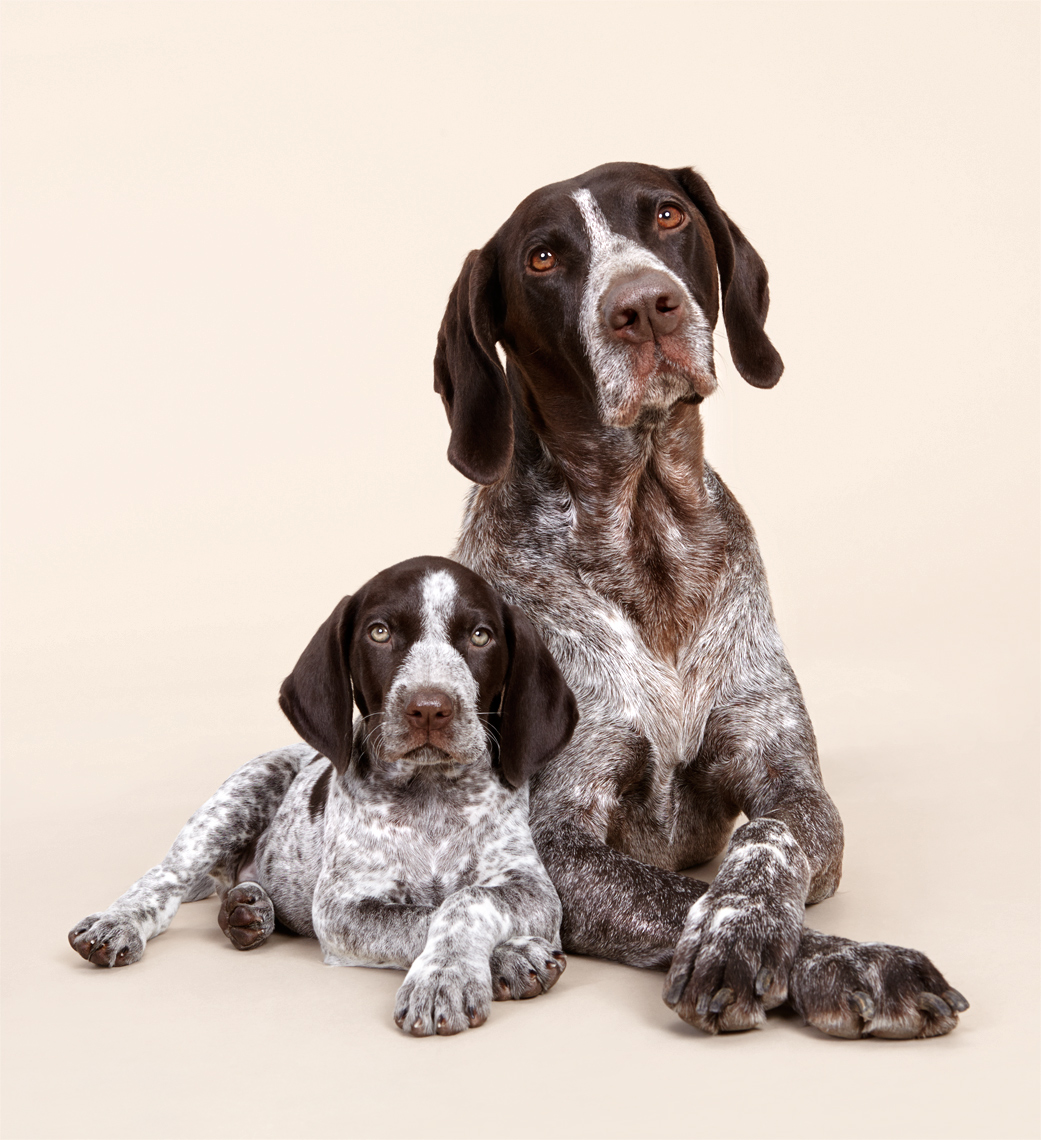 German Shorthaired Pointer dog and puppy