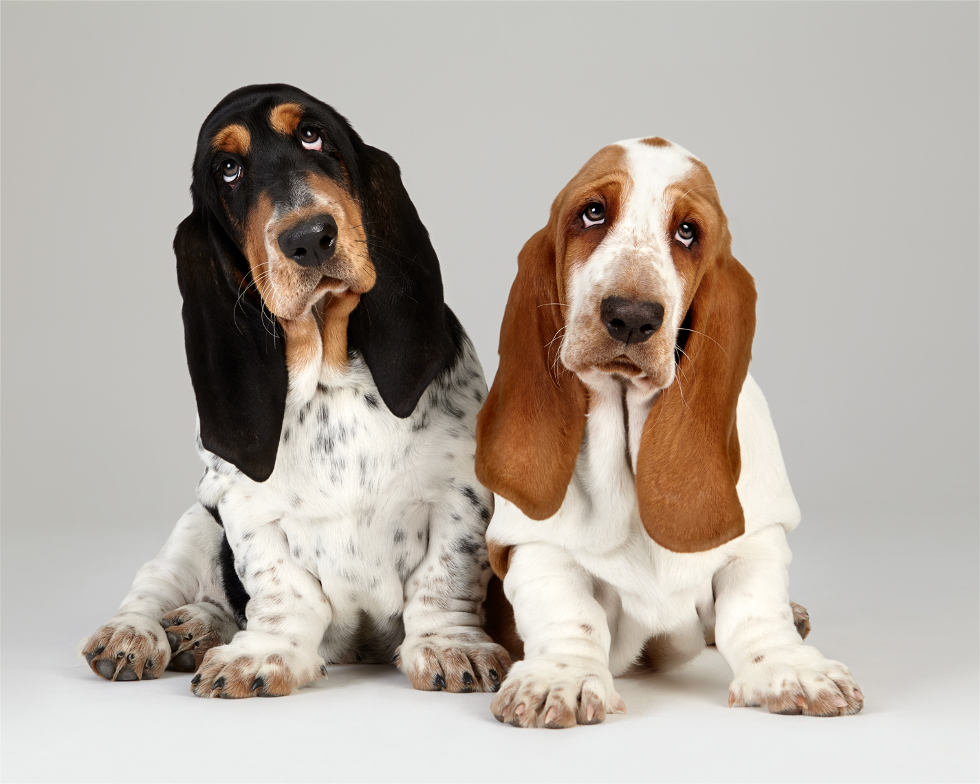 Basset Hound puppies sitting