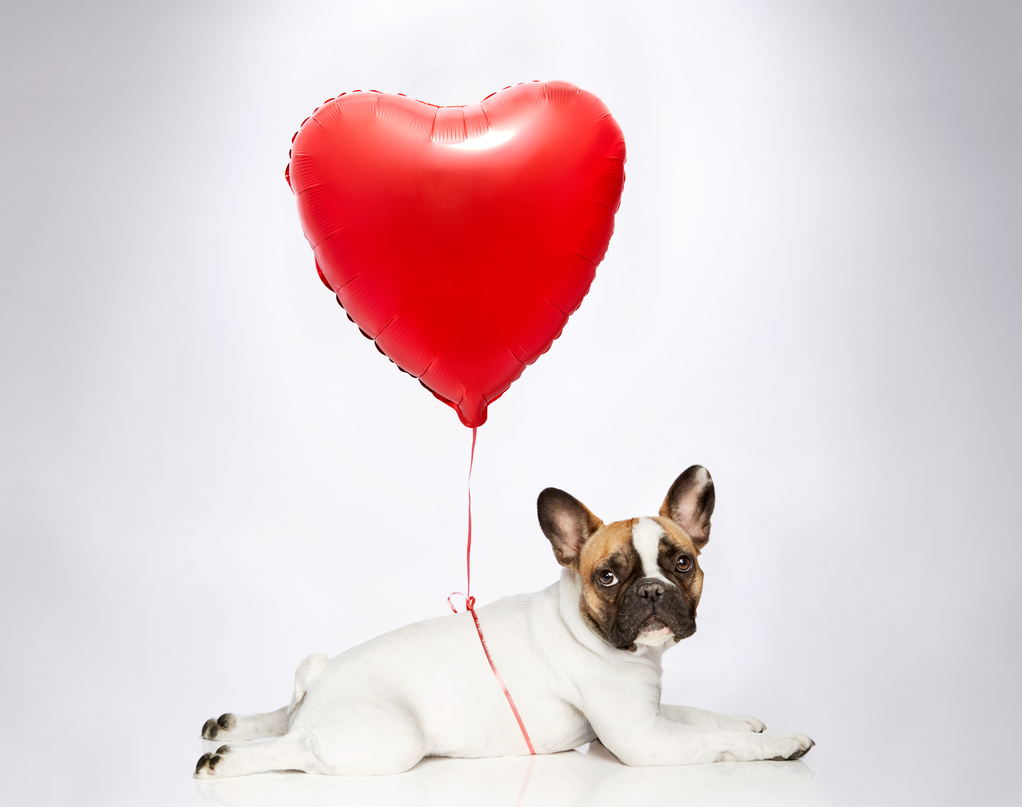 French bulldog with a red heart balloon