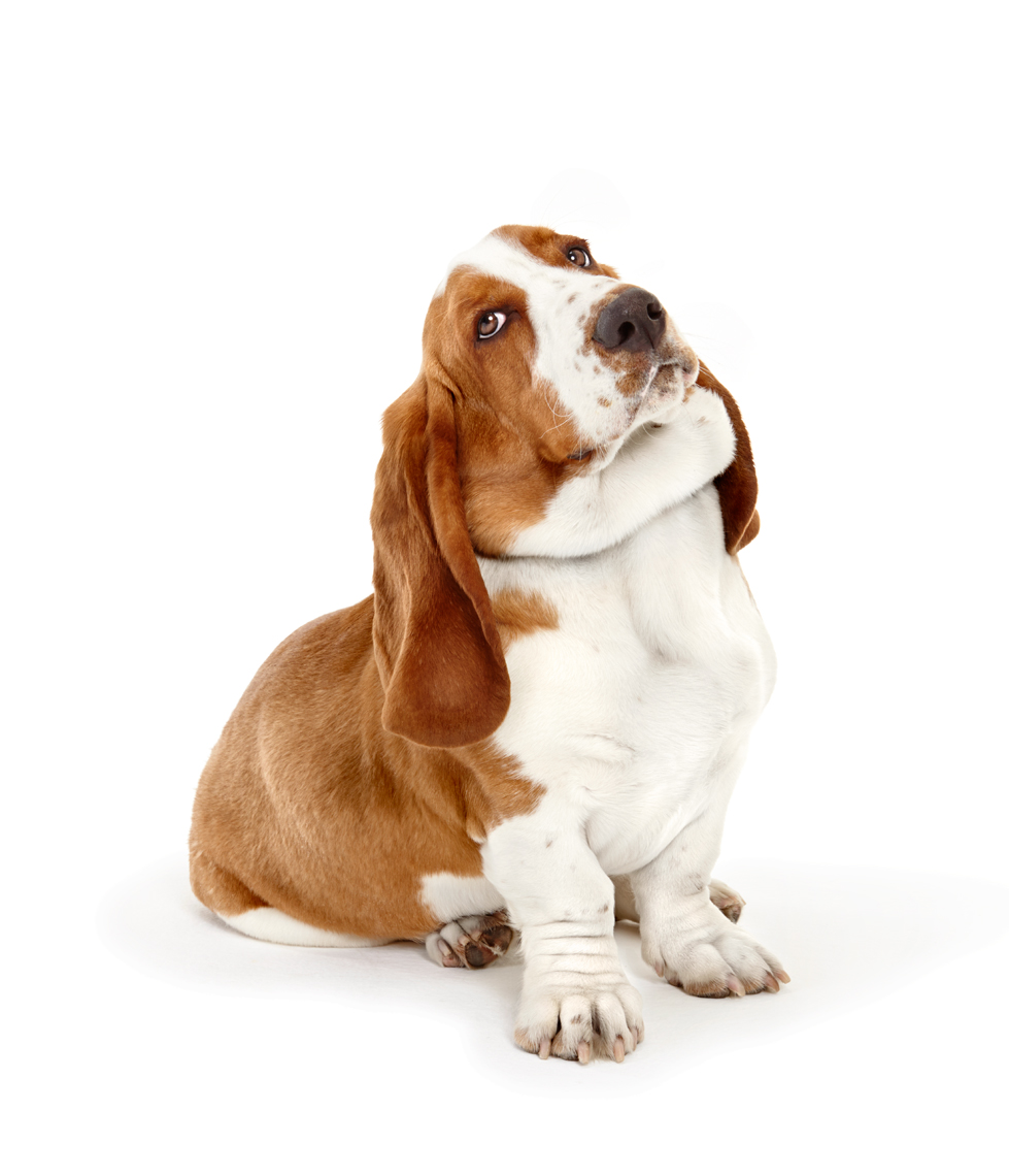 Basset Hound sitting with cocked head
