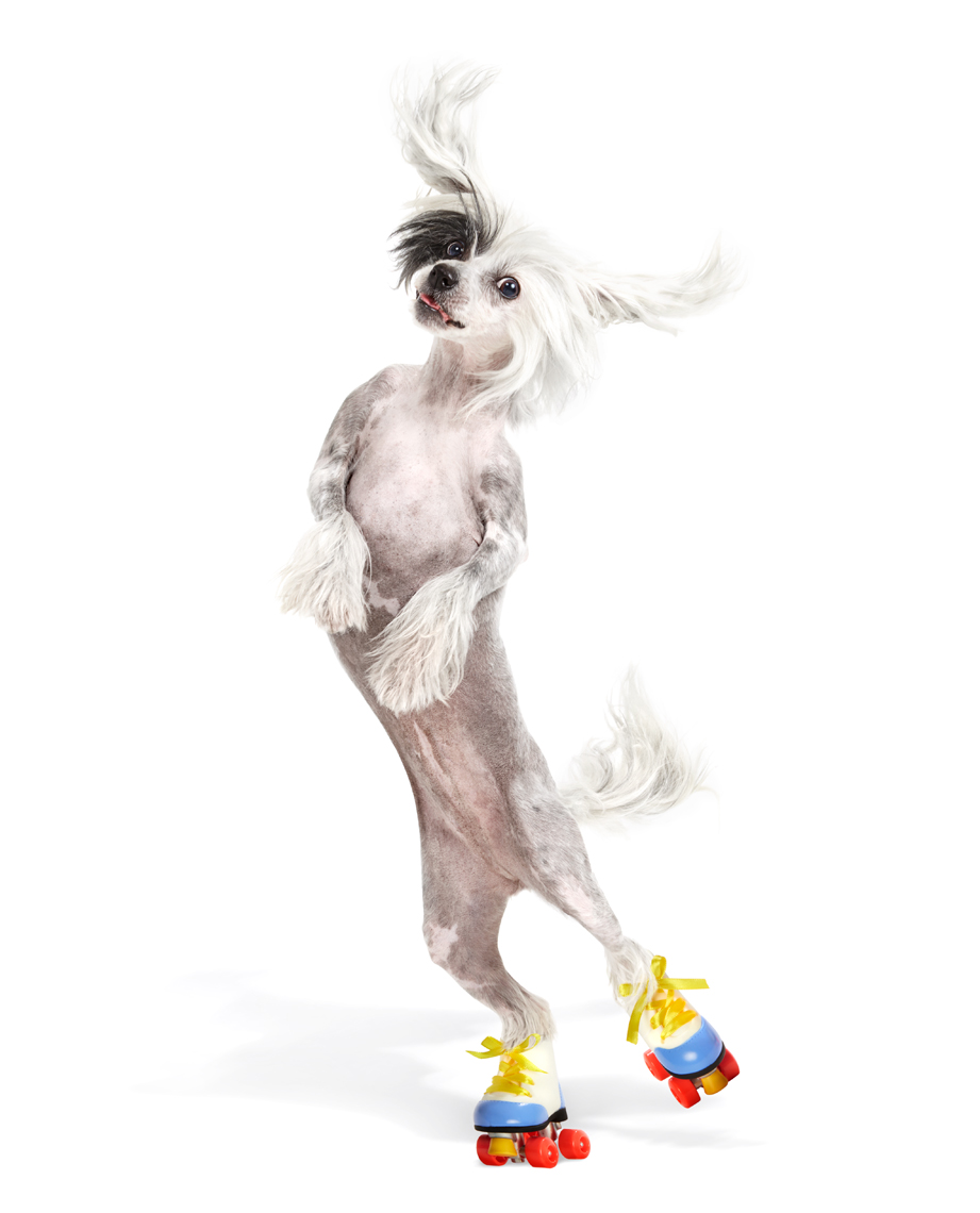 Chinese Crested dog rollerskating