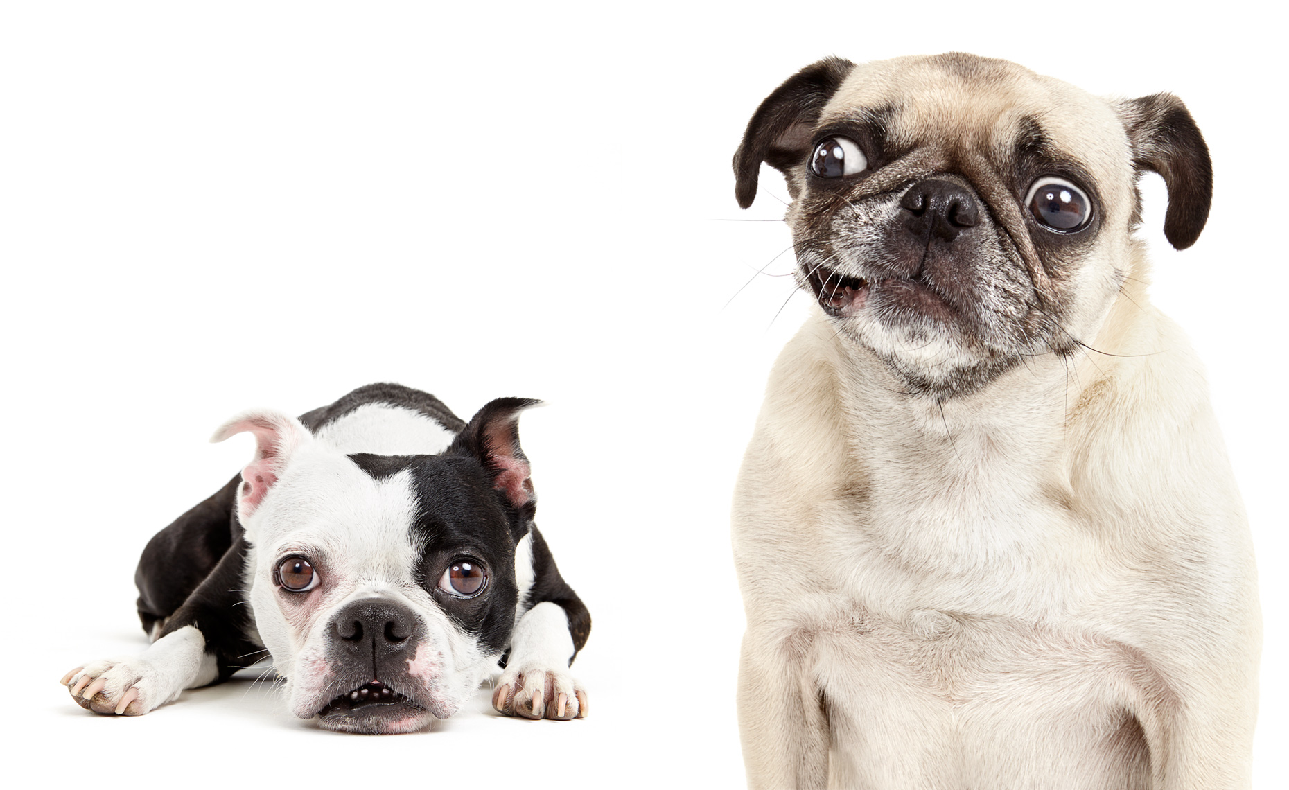 Boston Terrier and Pug expressions