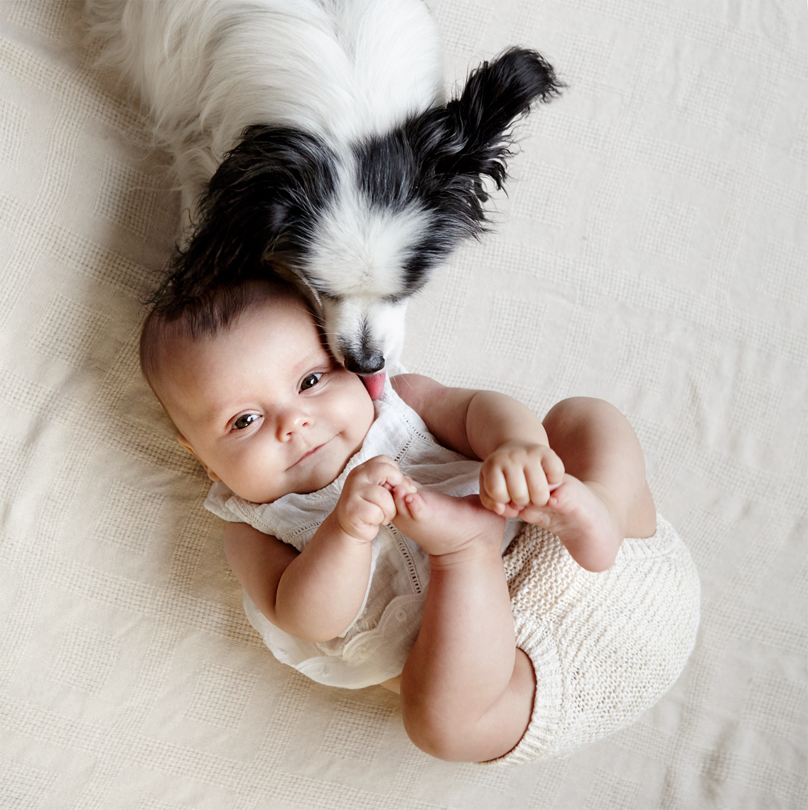 Papillon licking baby