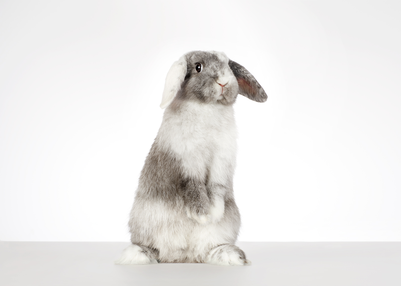 Rabbit standing on hind legs