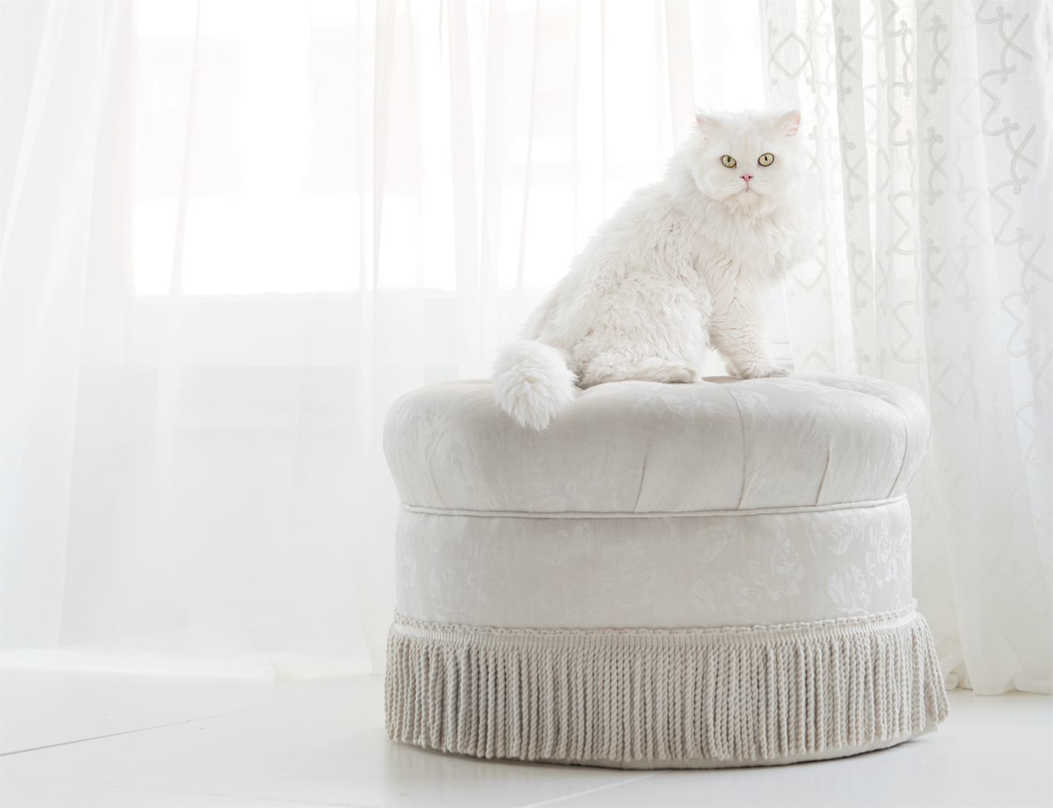 Himalayan white cat on tuft ottoman