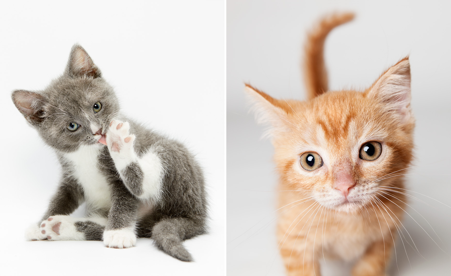 Gray grooming kitten and orange kitten