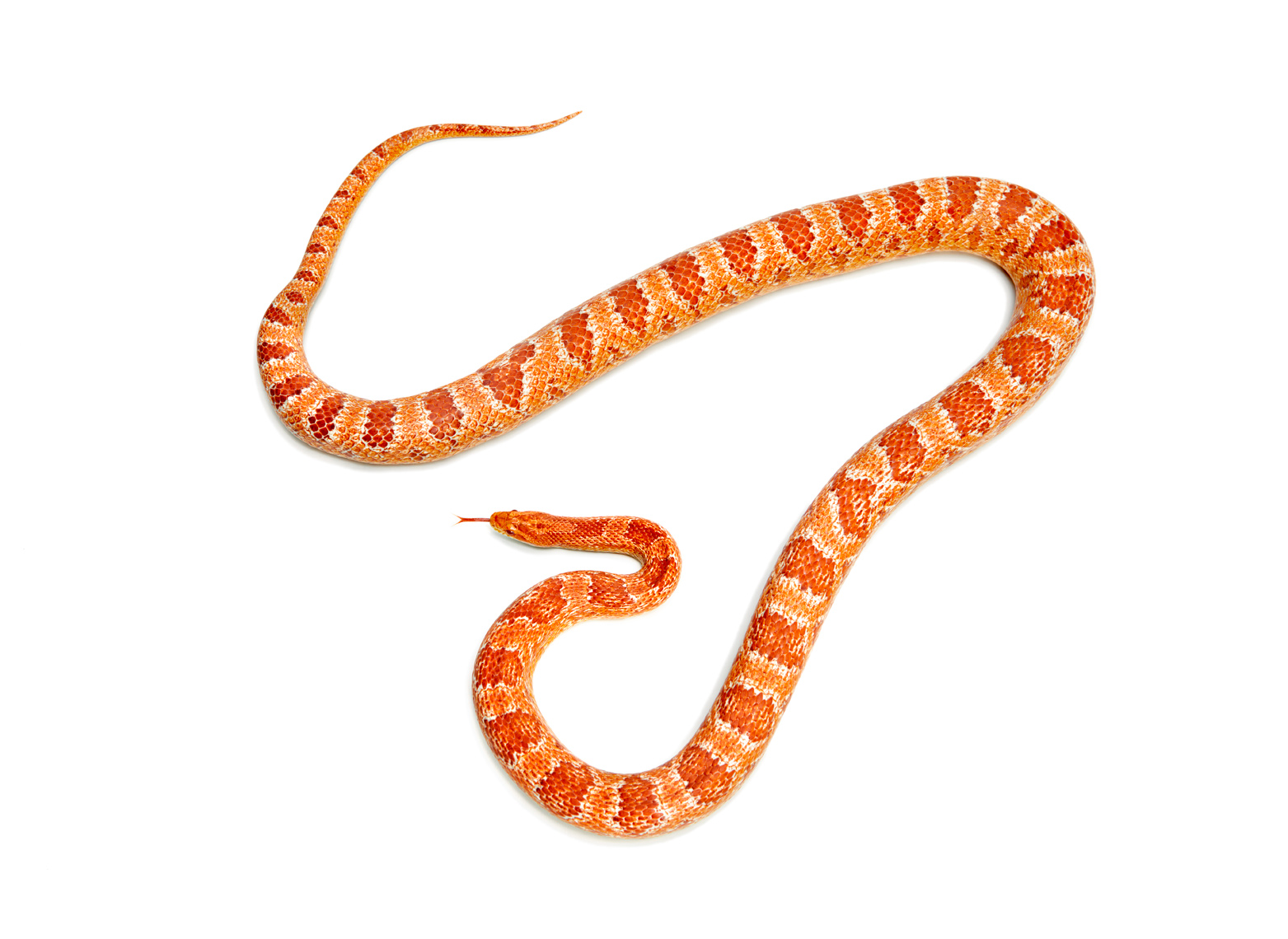 orange and red snake
