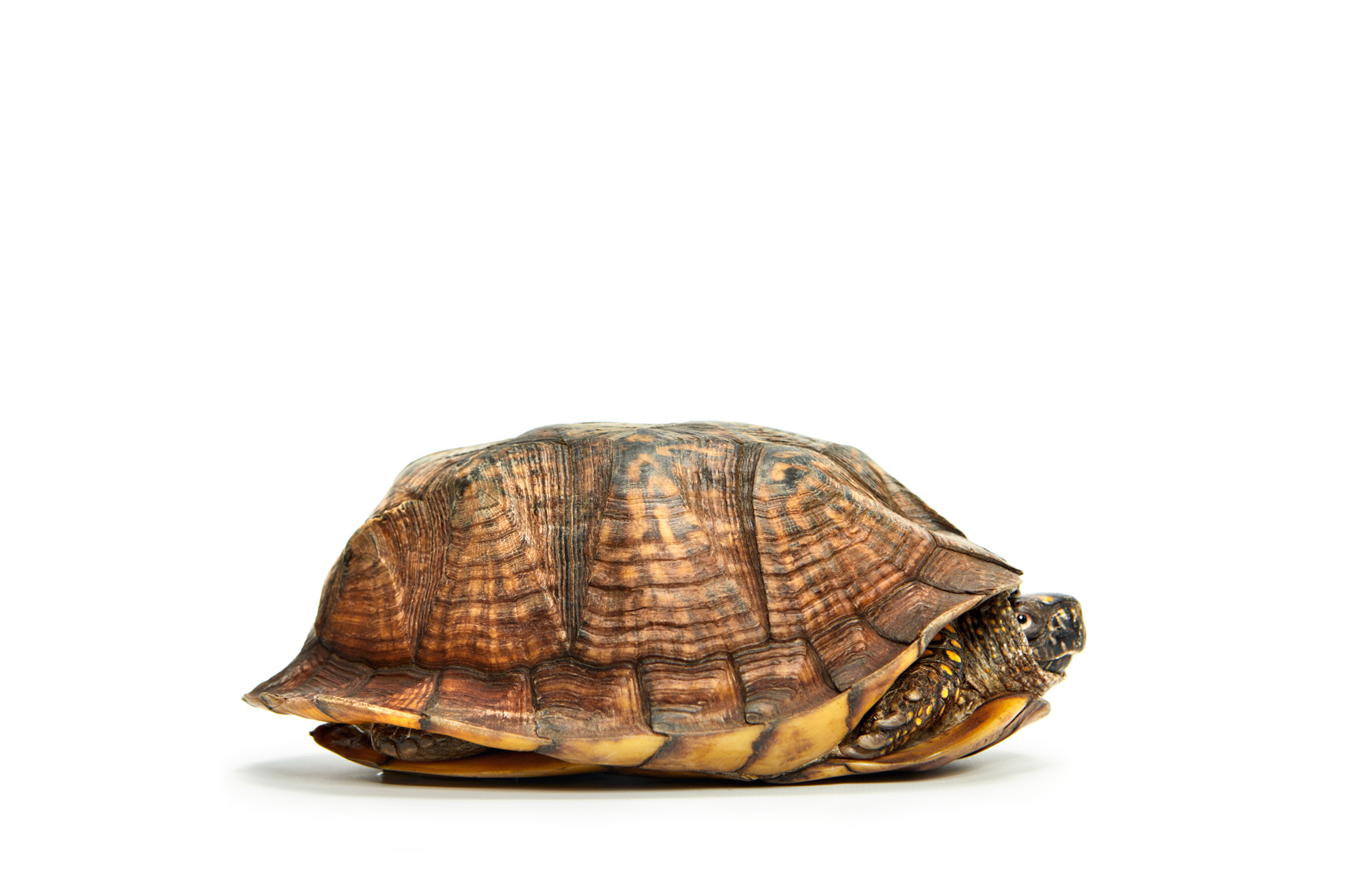 A turtle in shell with head out