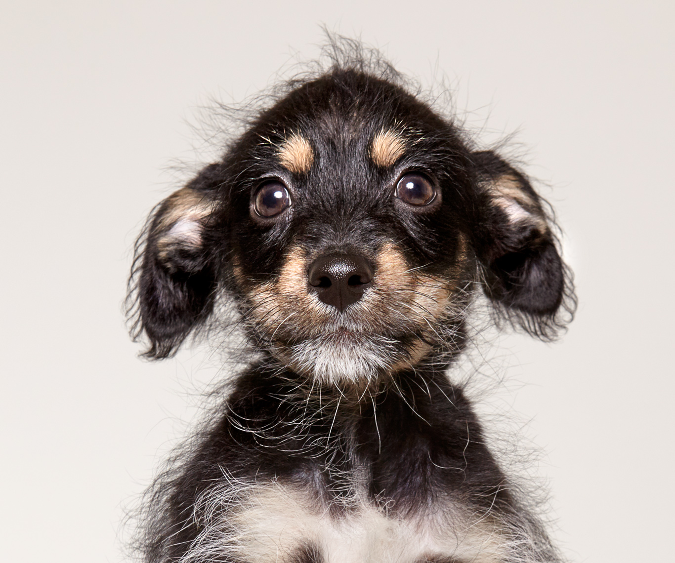 Puppy portrait with scruffy hair