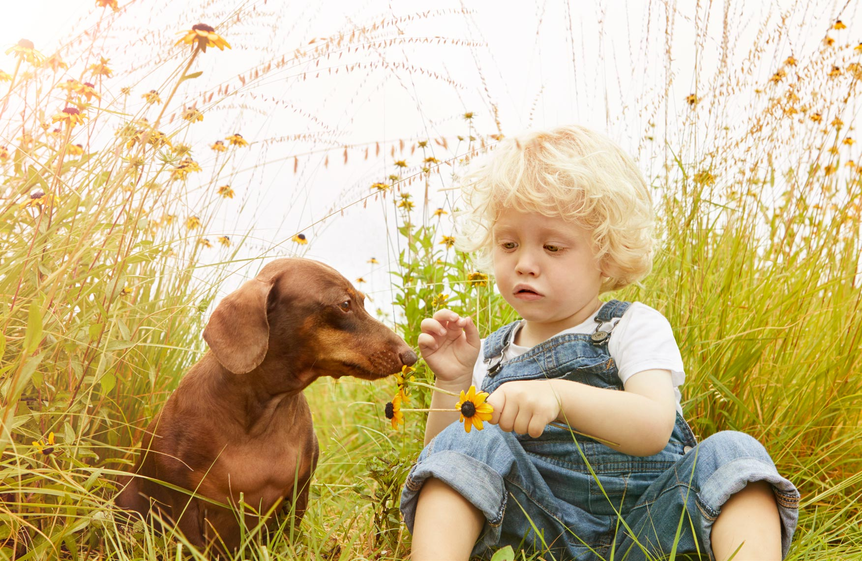 Dachshund smelling flower with boy