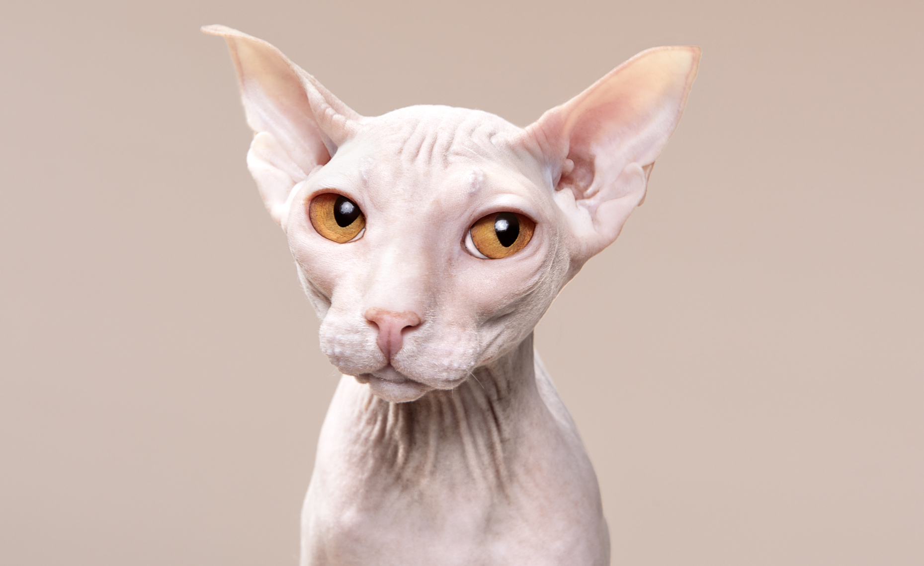 hairless cat portrait