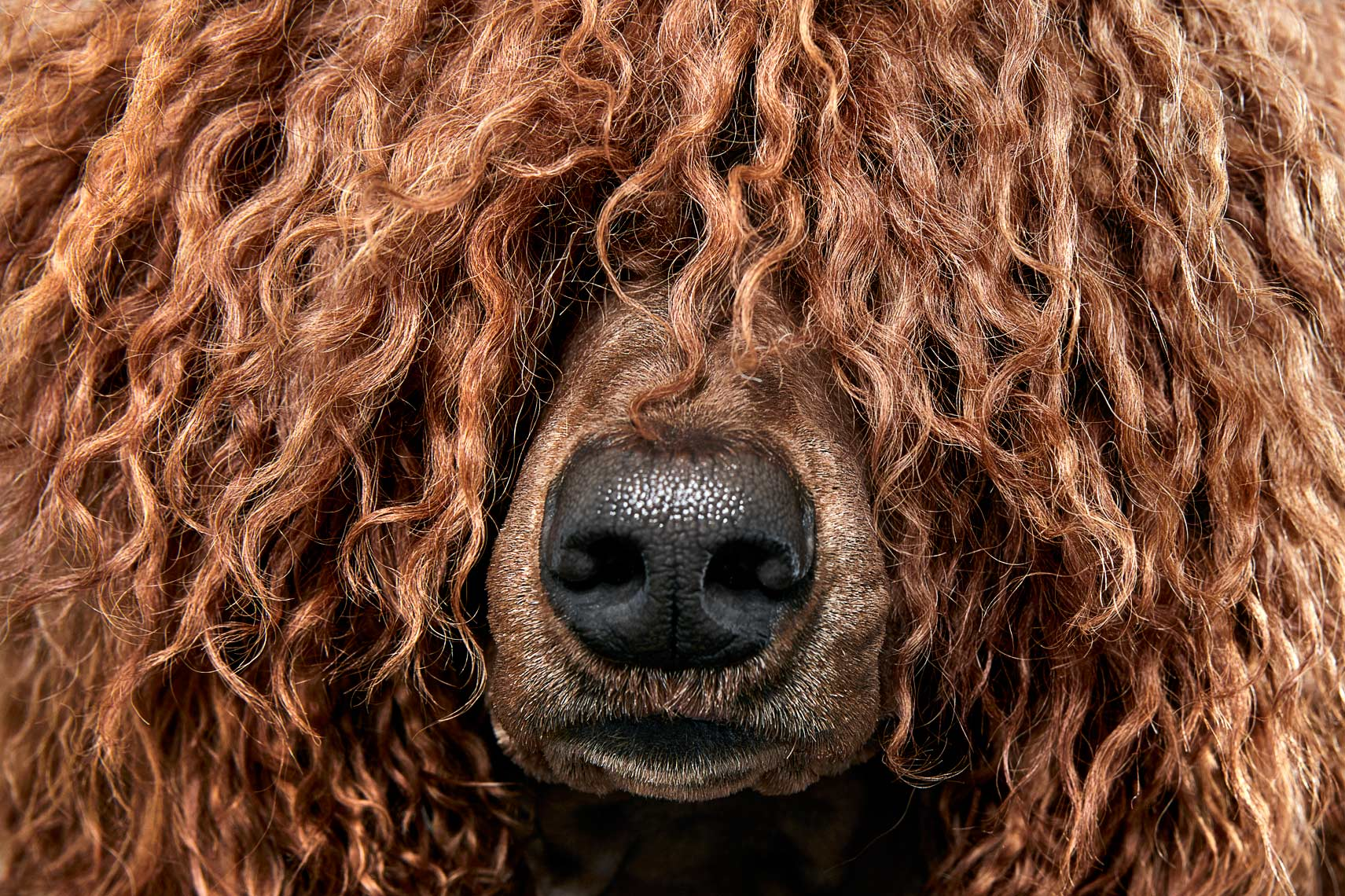 Poodle dog hair detail