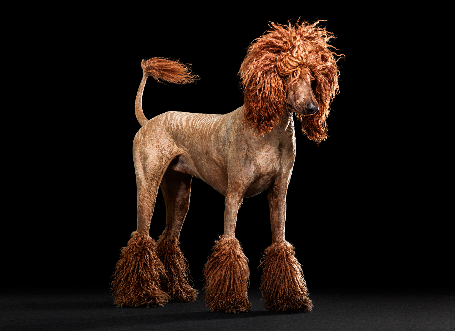Poodle dog with pony hair cut