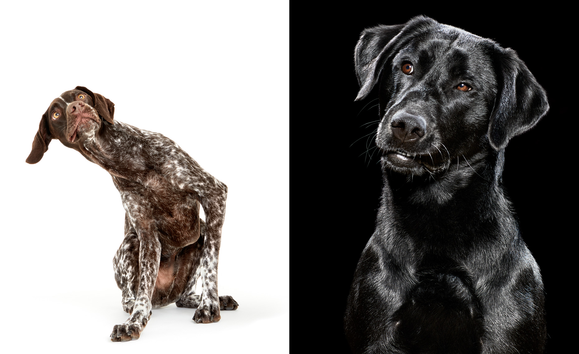 German Shorthair Pointer and black lab portraits