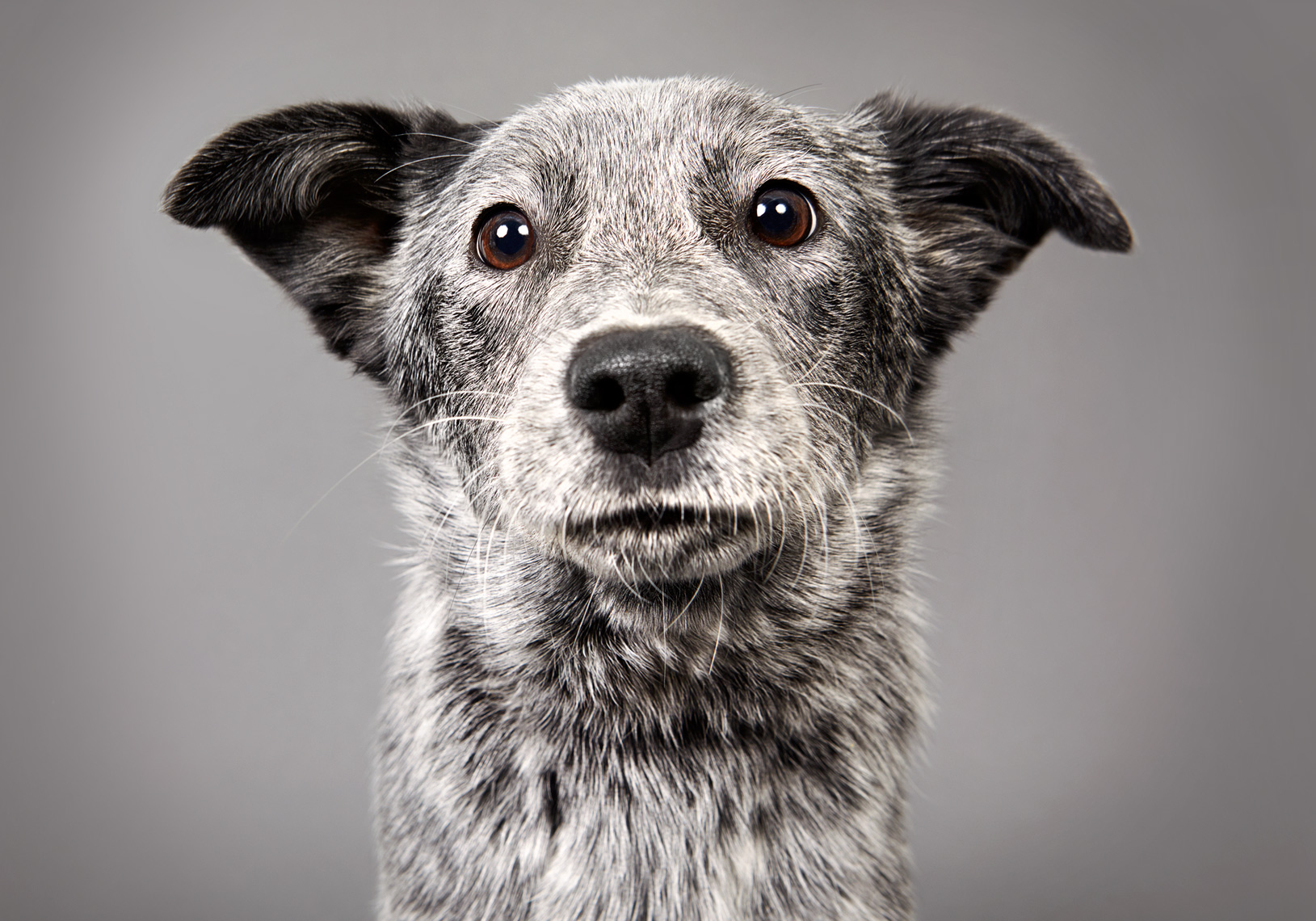 Cattle dog puppy portrait with cute face