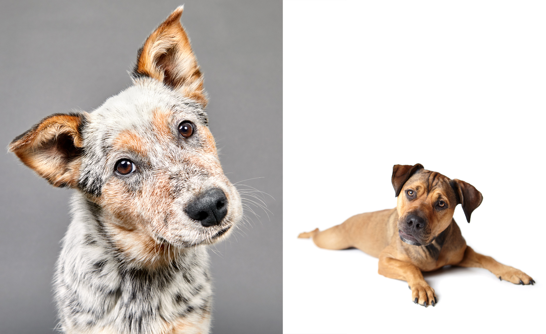 Cattle dog portrait