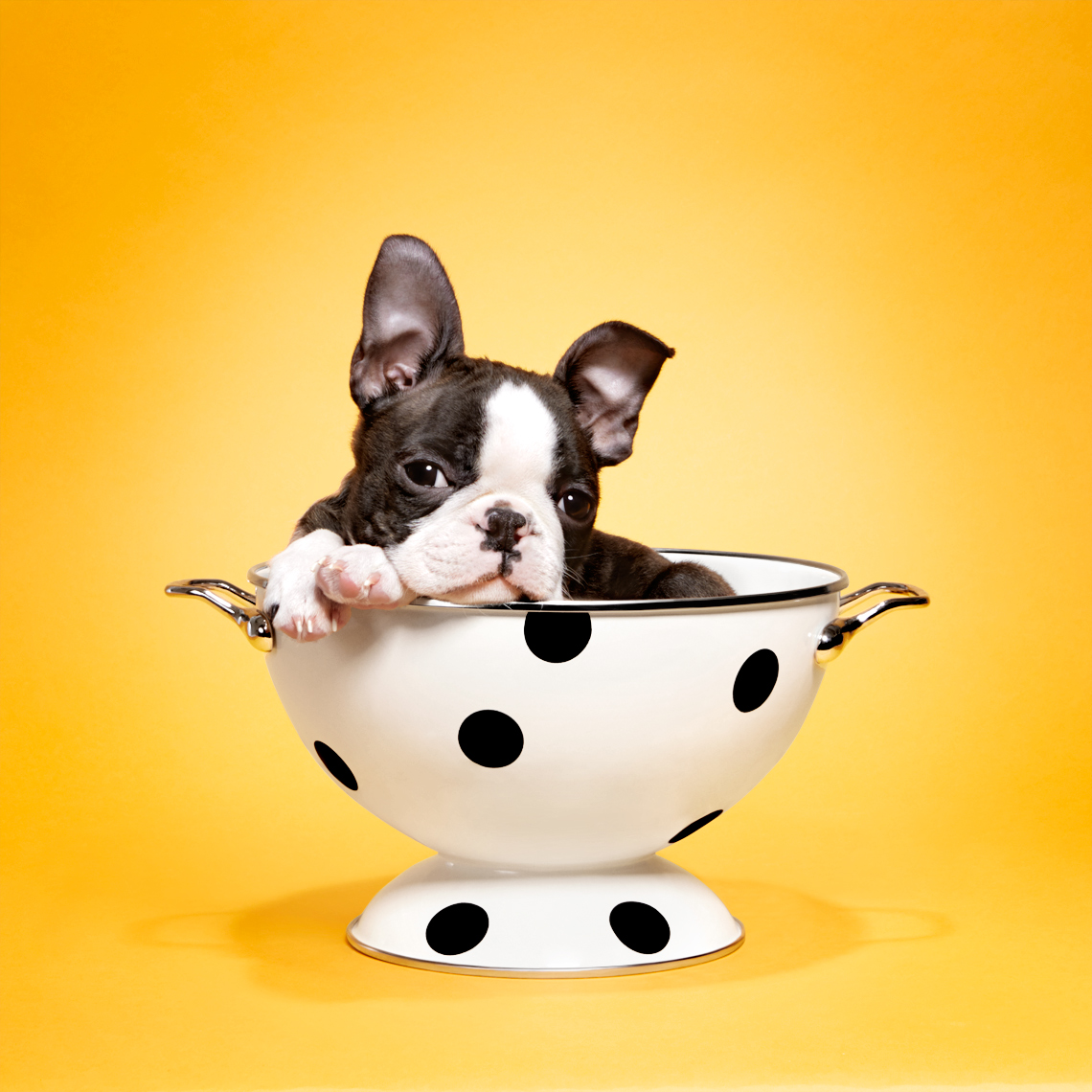Boston Terrier puppy in a bowl
