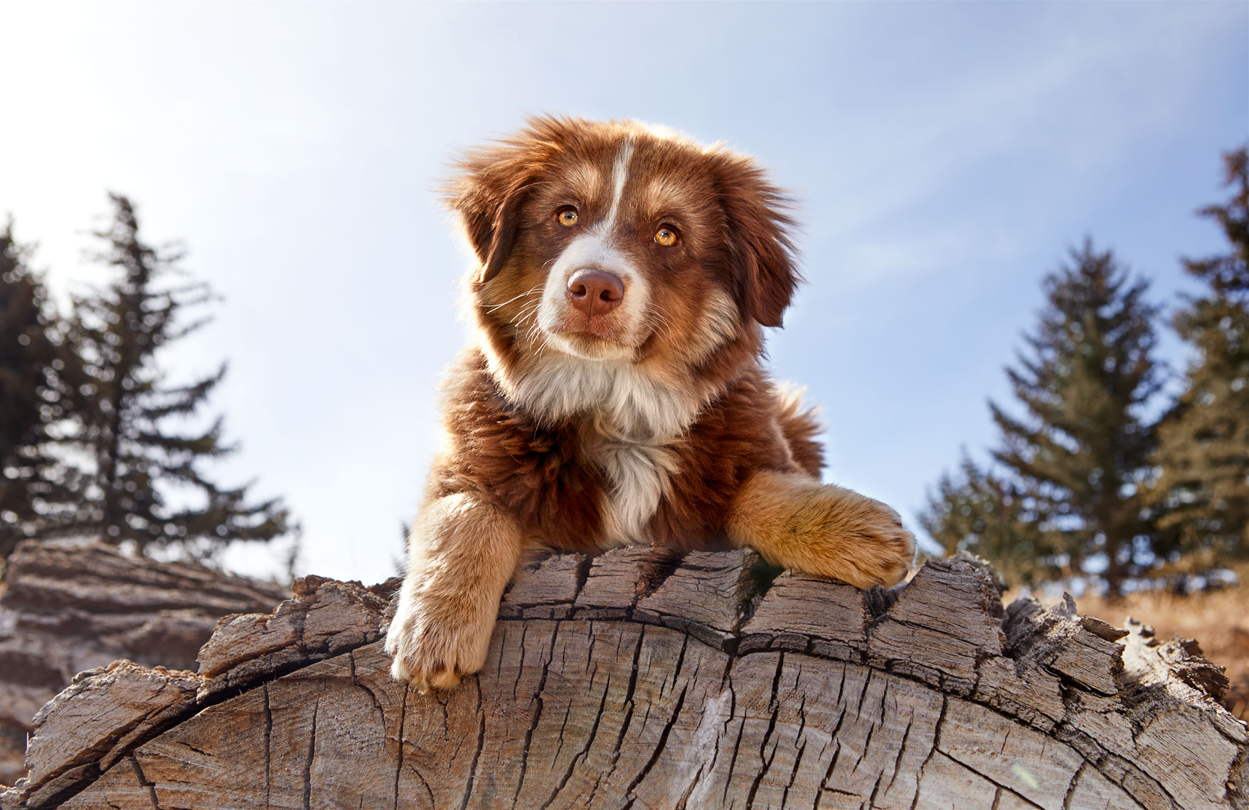 Australian Shepherd Puppy on log