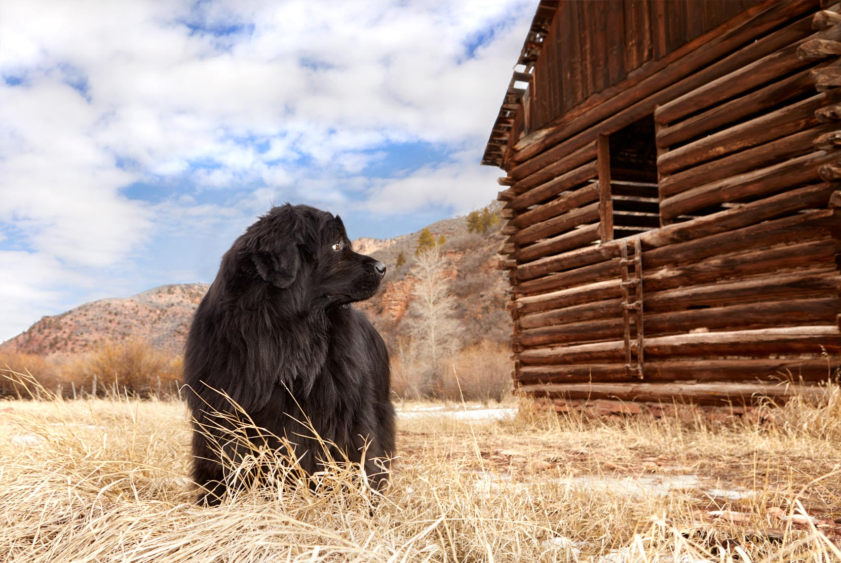 Newfoundland dog with log cabin