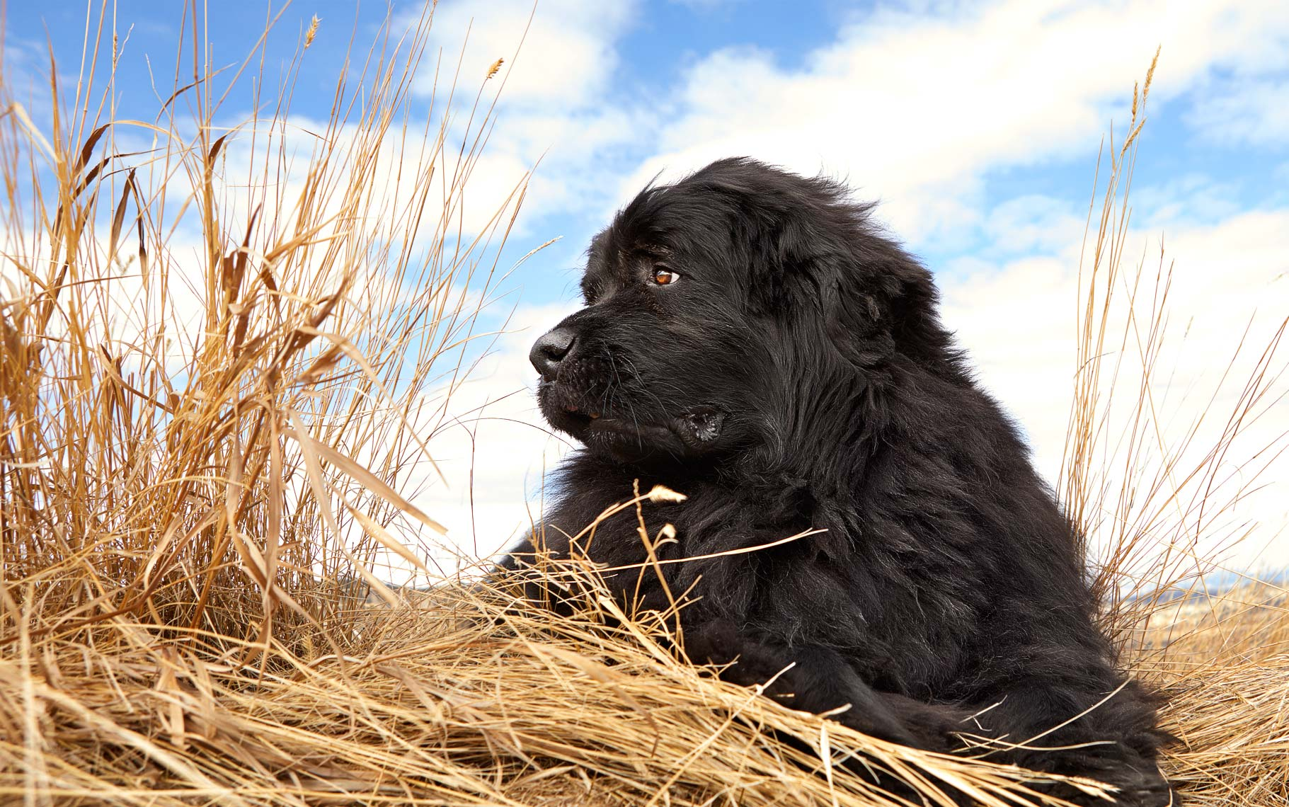 Newfoundland dog in field