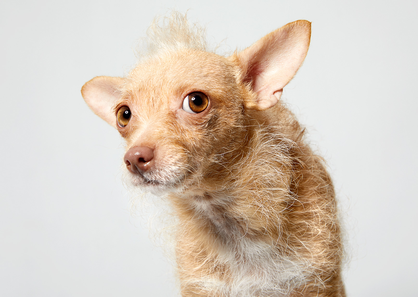 Chihuahua terrier mix mohawk